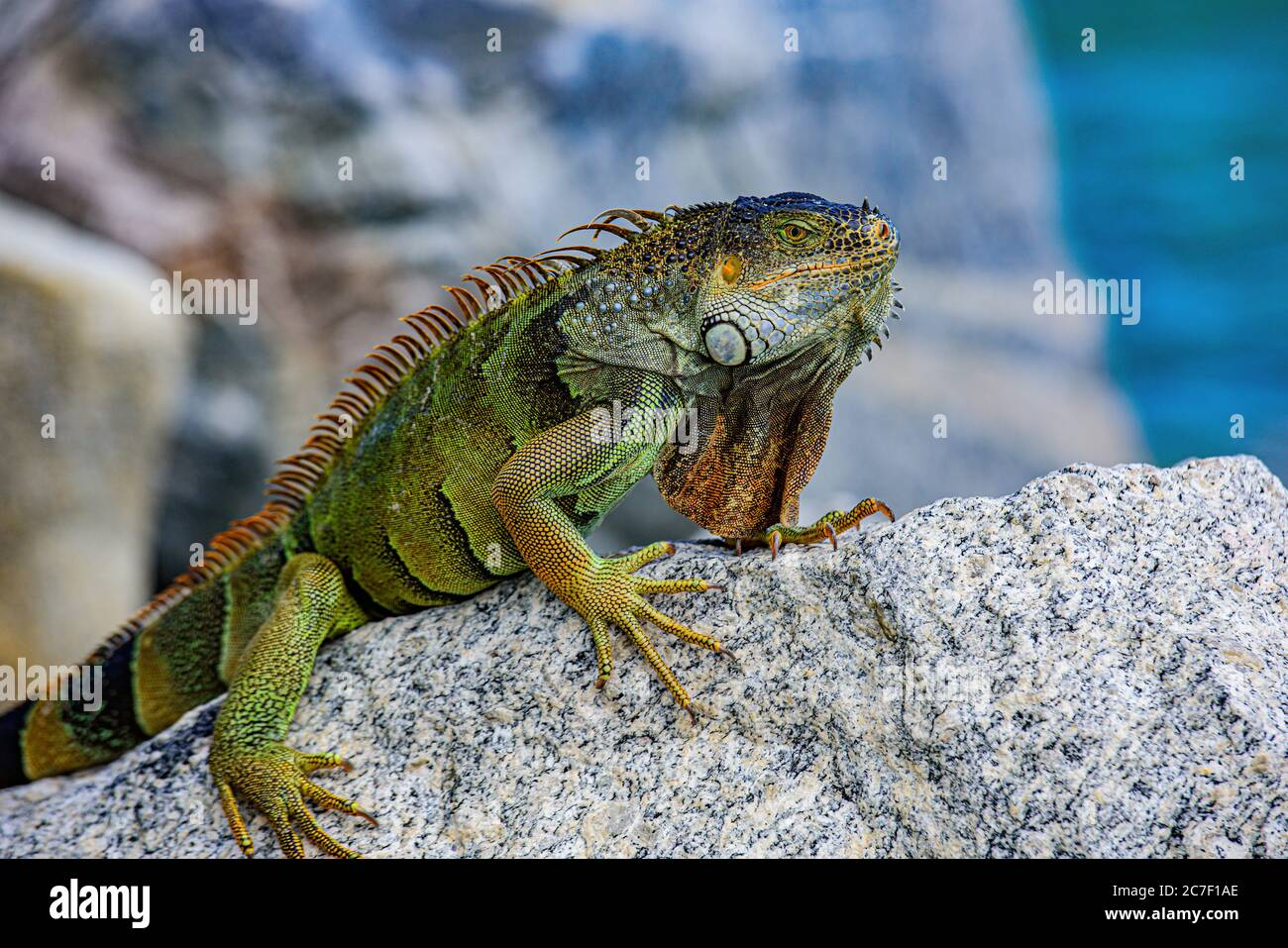 Green Iguana, also known as Common or American iguana, on nature background. Stock Photo