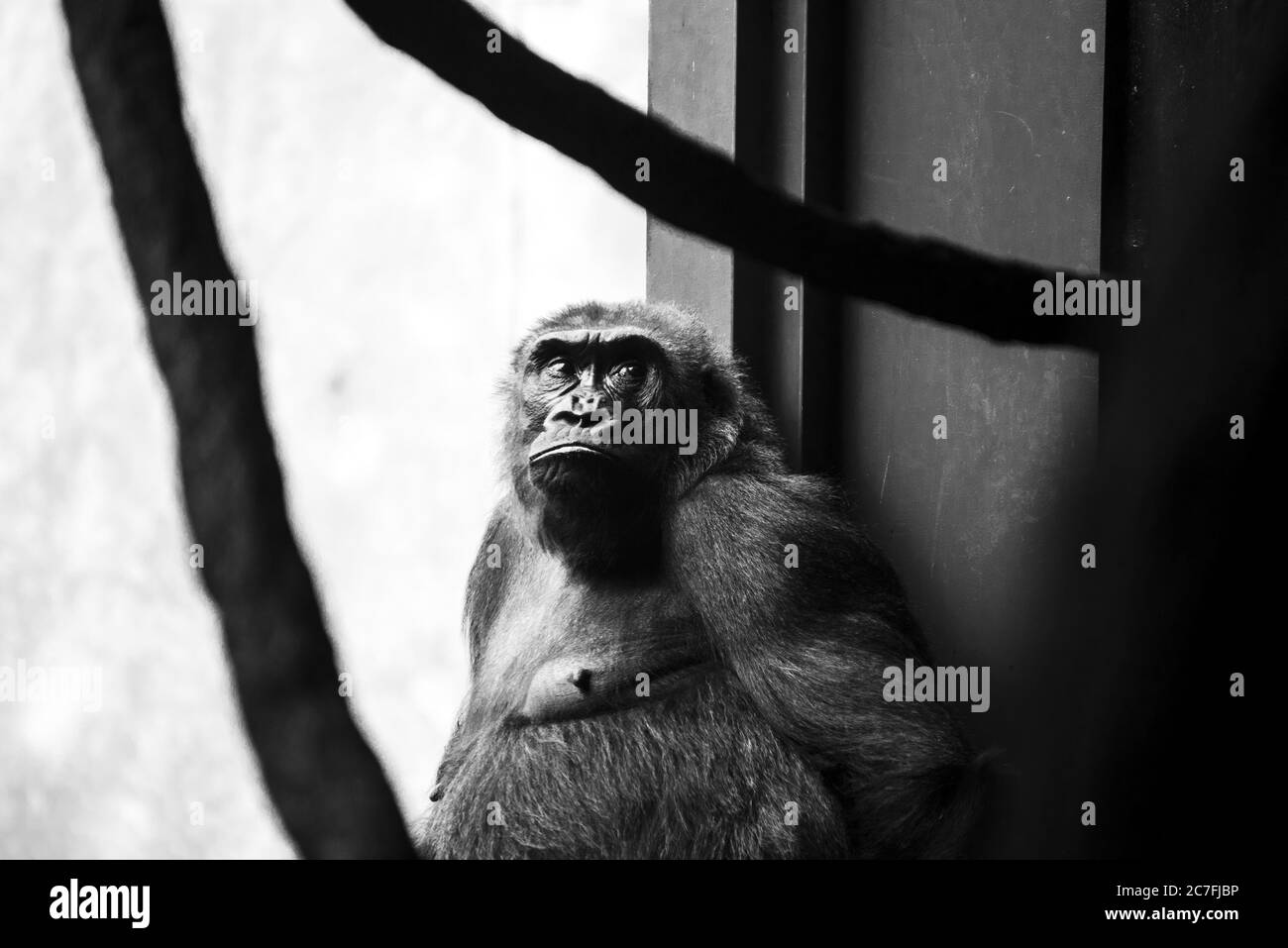A Closeup Greyscale Shot Of A Chimpanzee With A Serious Face Stock Photo Alamy