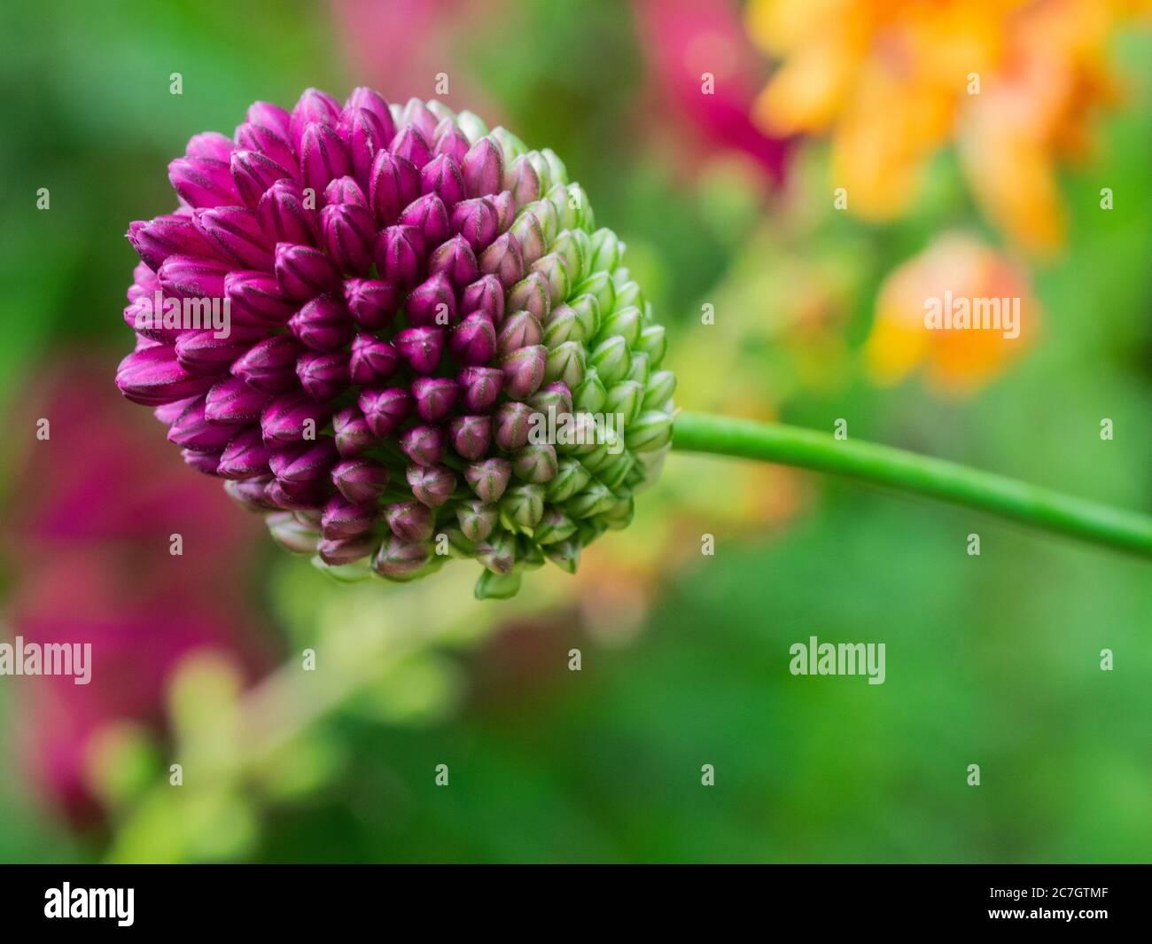 Drumstick allium, Allium Sphaerocephalon, UK July, Stock Photo