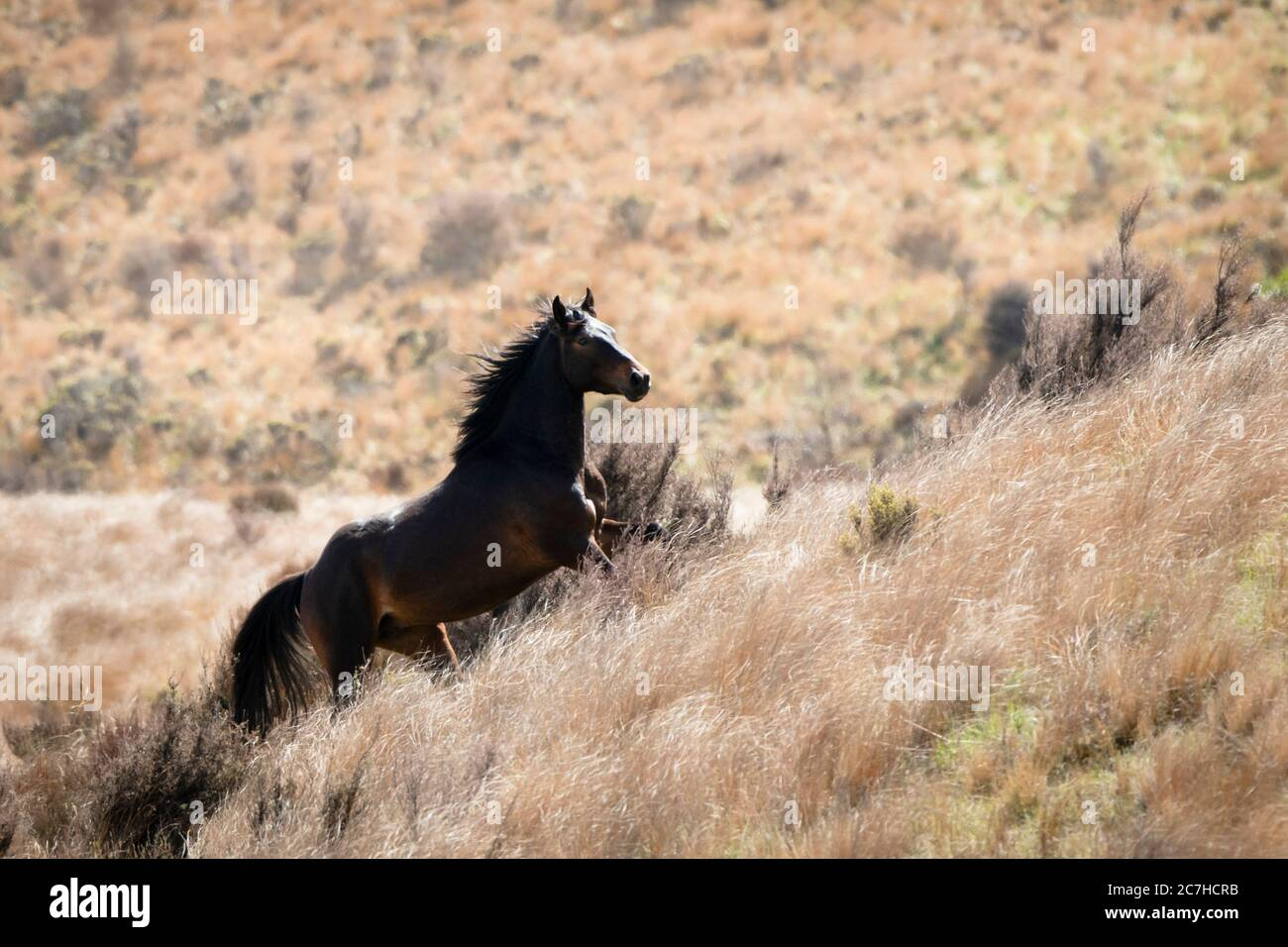 A Black Kaimanawa Wild Horse Running Up The Red Tussock Hills Stock Photo Alamy