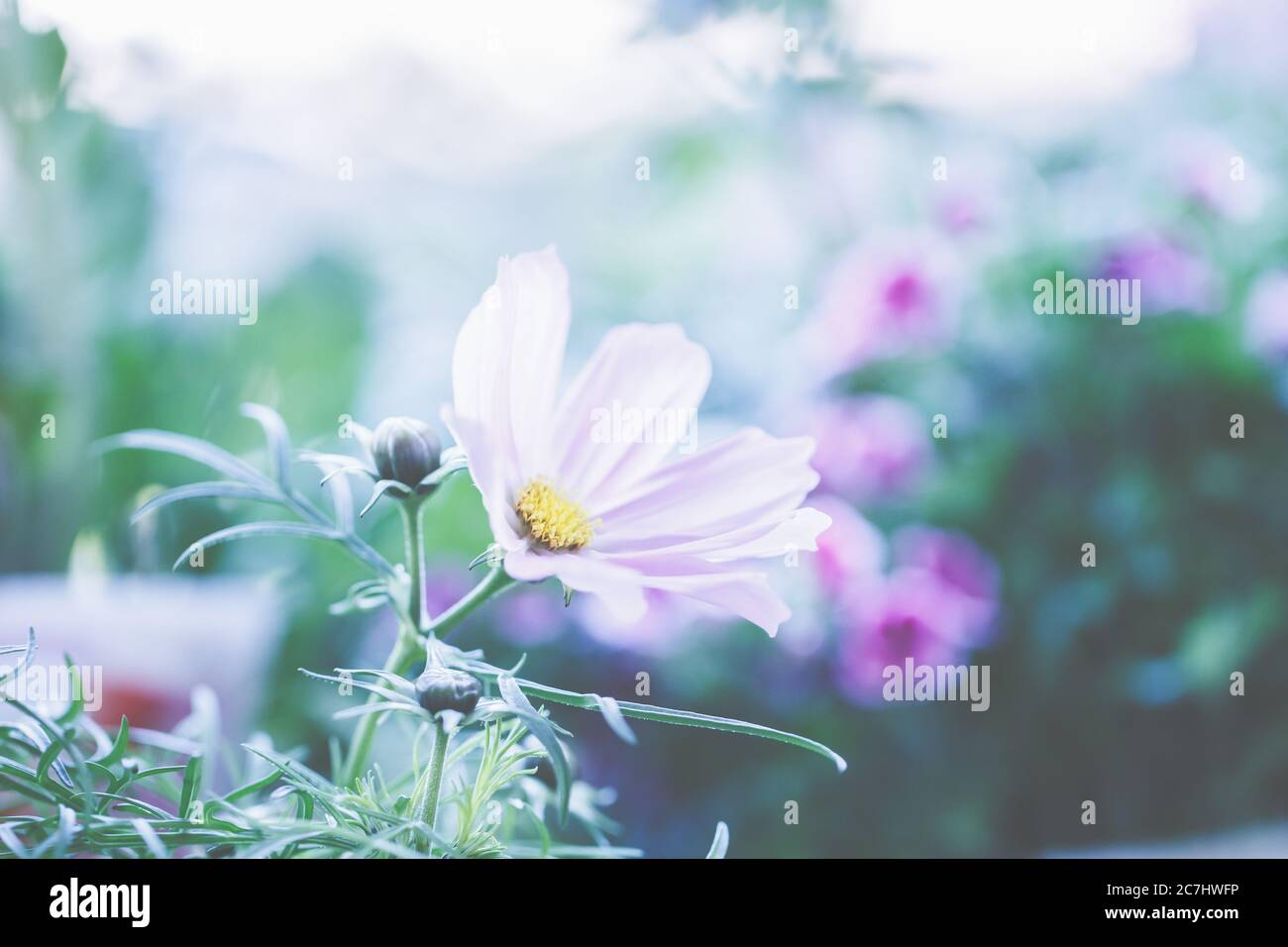Cosmos Plant Pot High Resolution Stock Photography And Images Alamy