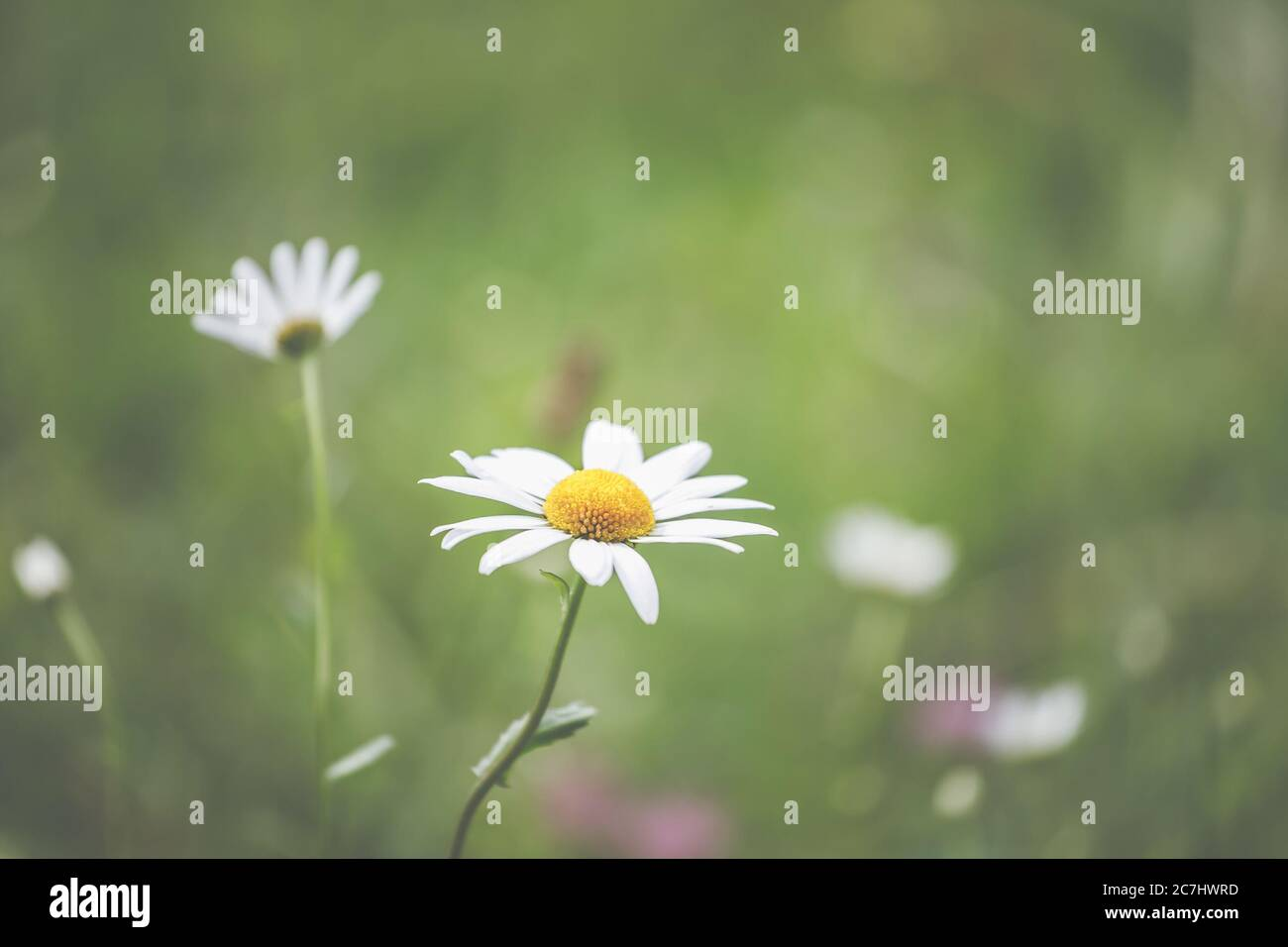 Spring - The garden blooms in the sunlight. Daisies and daisies in the meadow. Stock Photo
