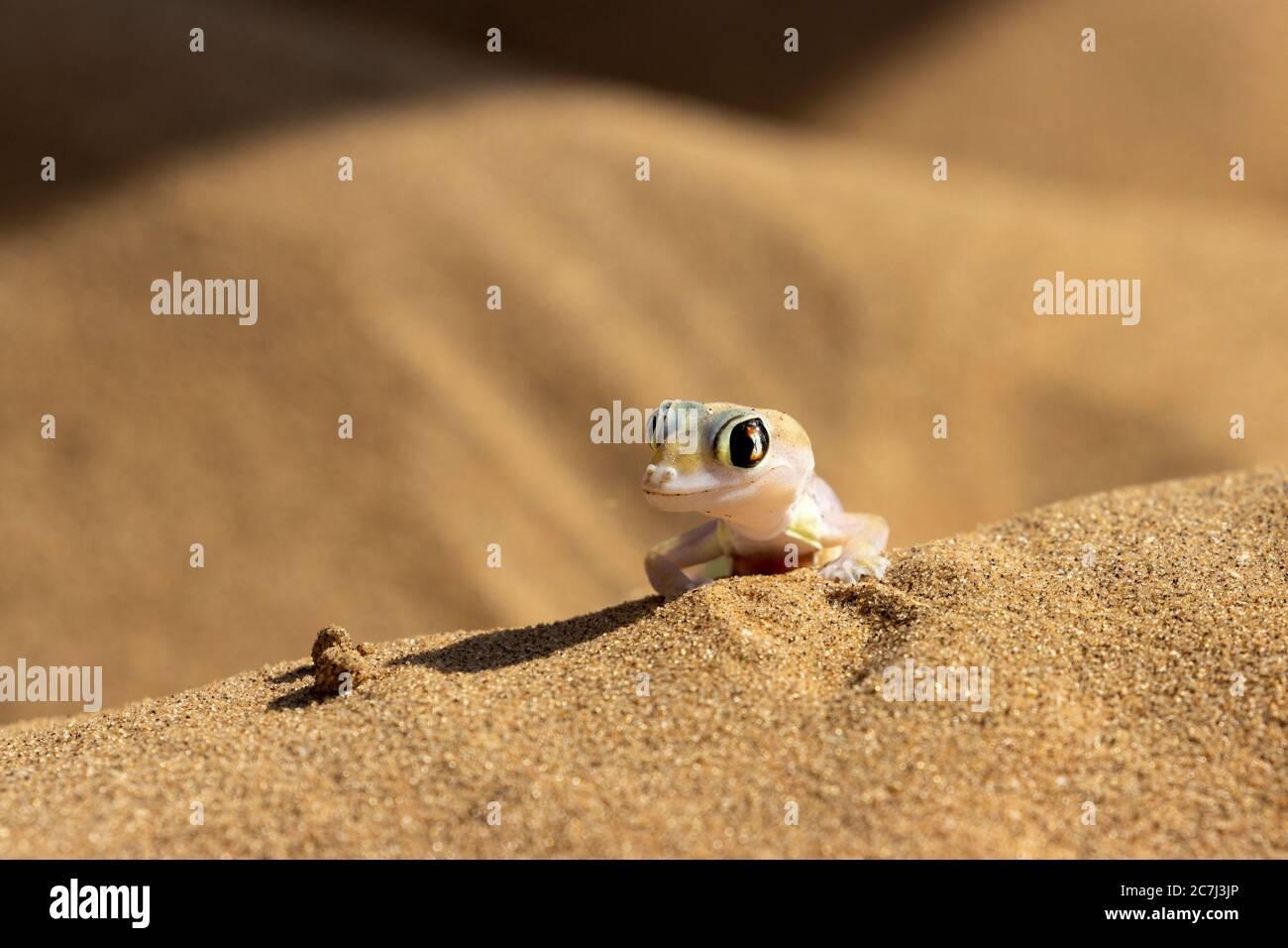 Namib gecko, also swimming gecko, Palmato gecko, Palmatogecko rangei, geckkonidae, Living Dunes Experience, Swakopmund, Namibia Stock Photo