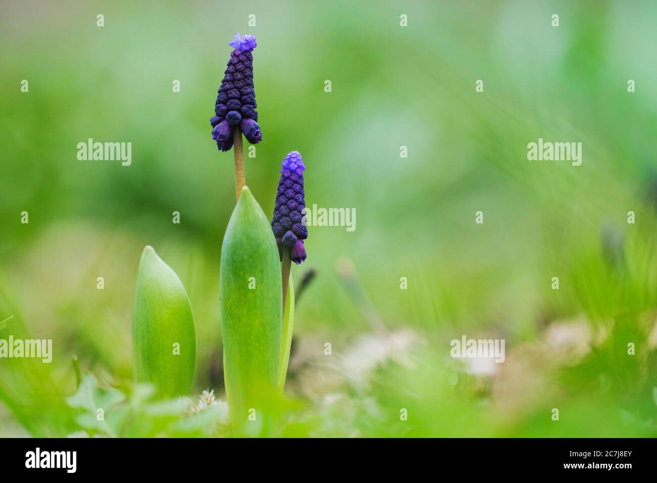 grape hyacinth (Muscari latifolium), blooming, Netherlands Stock Photo