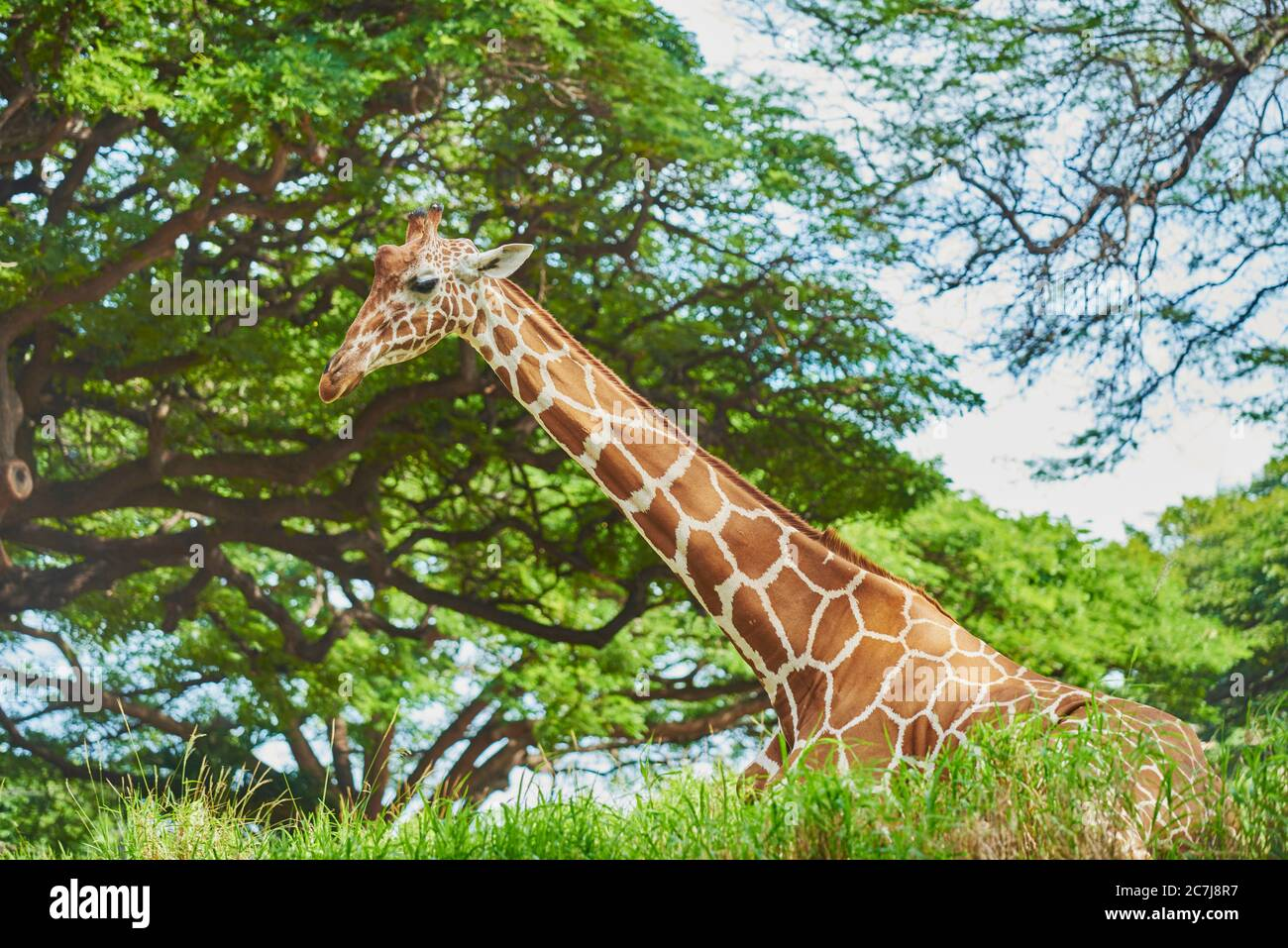 reticulated giraffe (Giraffa camelopardalis reticulata), resting on the ground in the savannah, half-length portrait, Africa Stock Photo