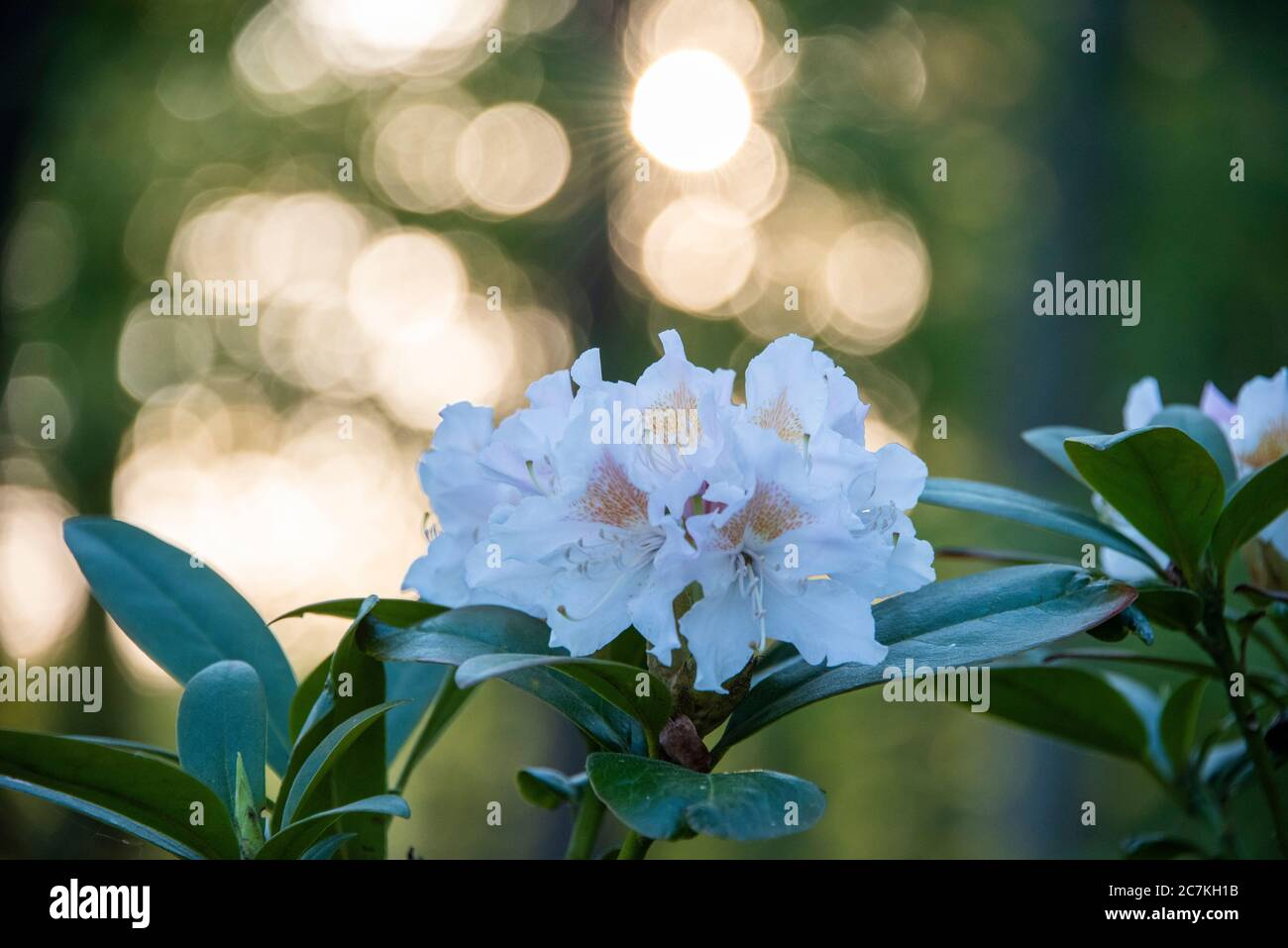 Rhododendron flowers, close-up Stock Photo