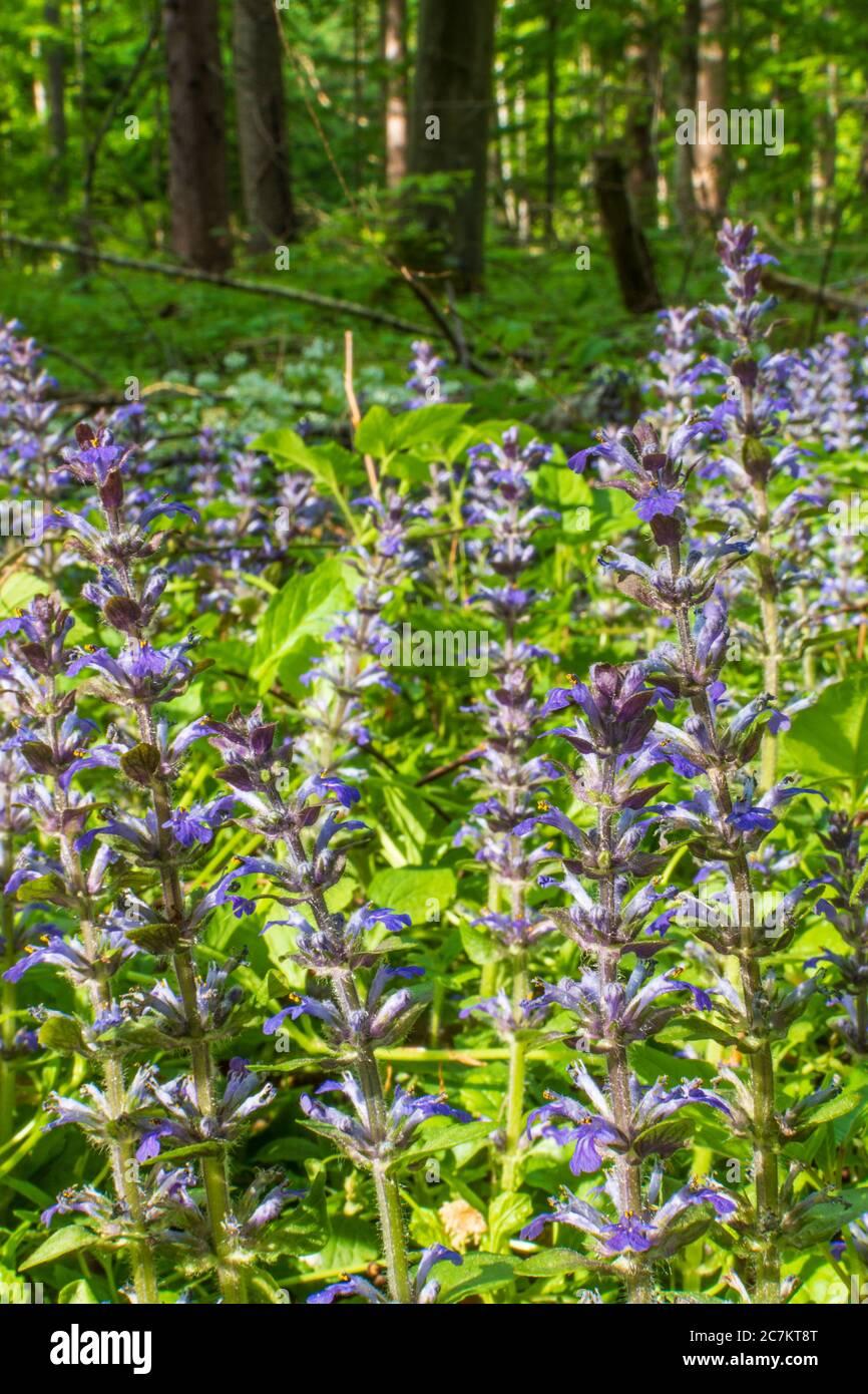 Klausen-Leopoldsdorf, blooming Kriechender Günsel (Ajuga reptans, commonly known as bugle, blue bugle, bugleherb, bugleweed, carpetweed, carpet bugleweed), Wienerwald / Vienna Woods, Niederösterreich / Lower Austria, Austria Stock Photo