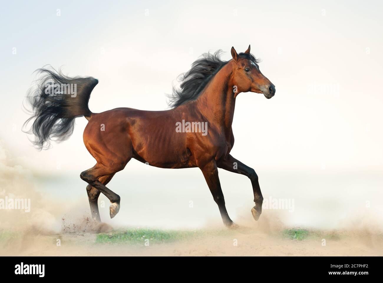 Beautiful Bay Arabian Stallion On Freedom Arab Horse Running On Freedom On The Wild Bay Arabian Horse On Grass Elegant Arab Stallion Trotting Stock Photo Alamy
