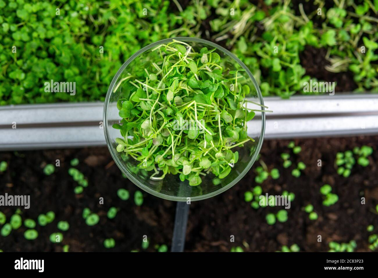 micro greens or sprouts of raw live sprouting vegetables sprout from organic plant seeds. growing plants at home, diet, healthy food Stock Photo