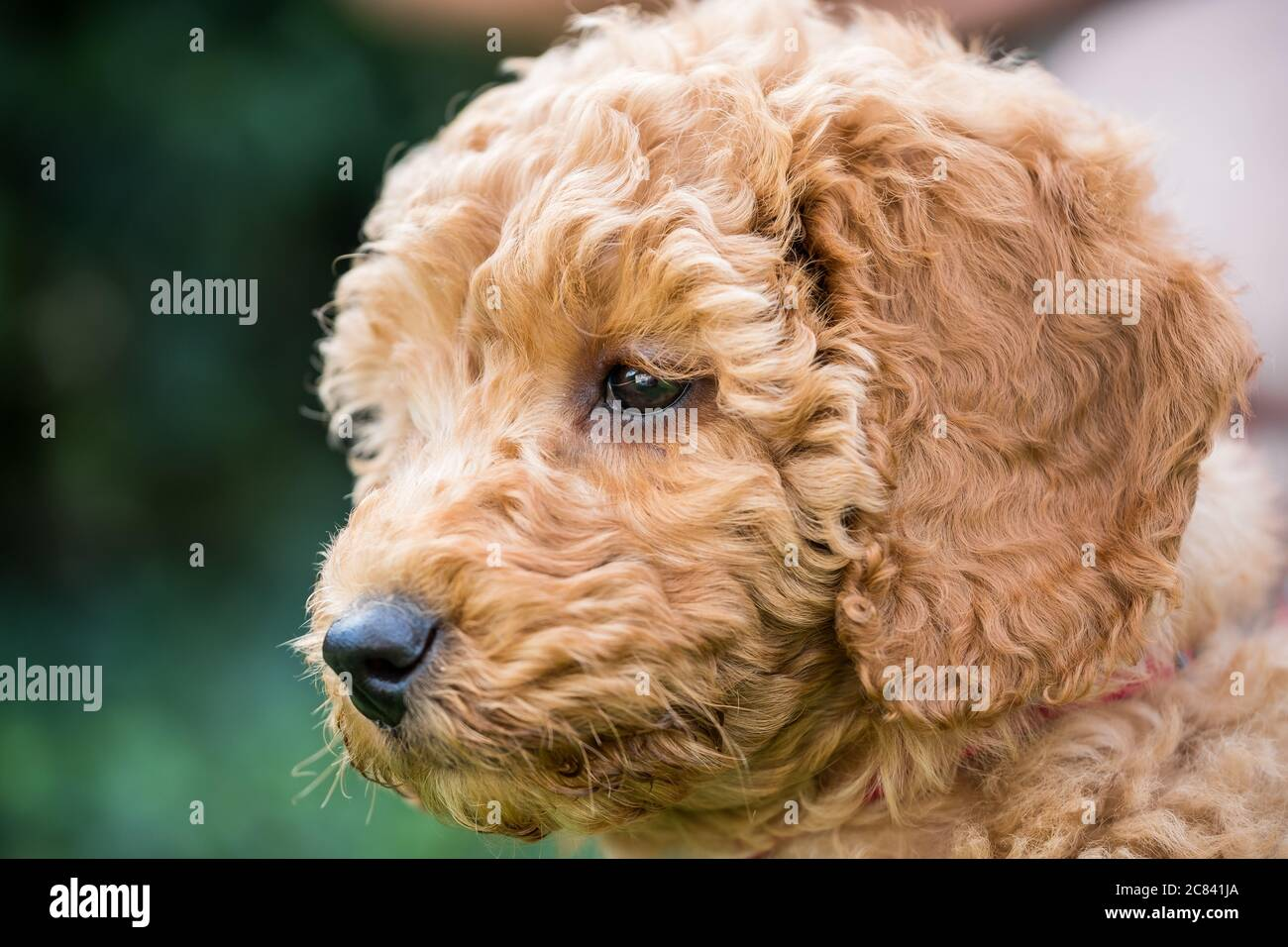 Teacup Poodle High Resolution Stock Photography And Images Alamy