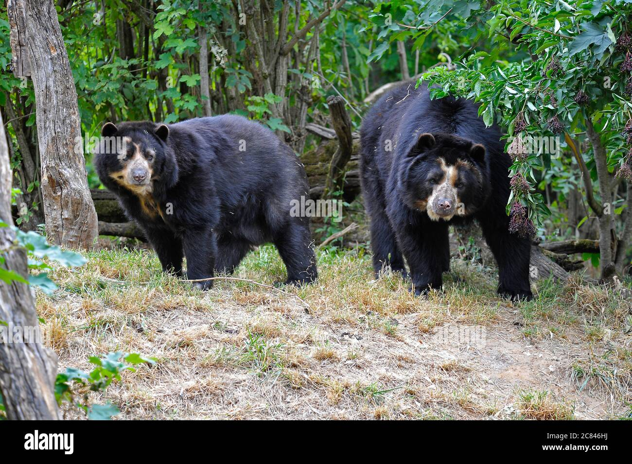 Spectacled bears Stock Photo