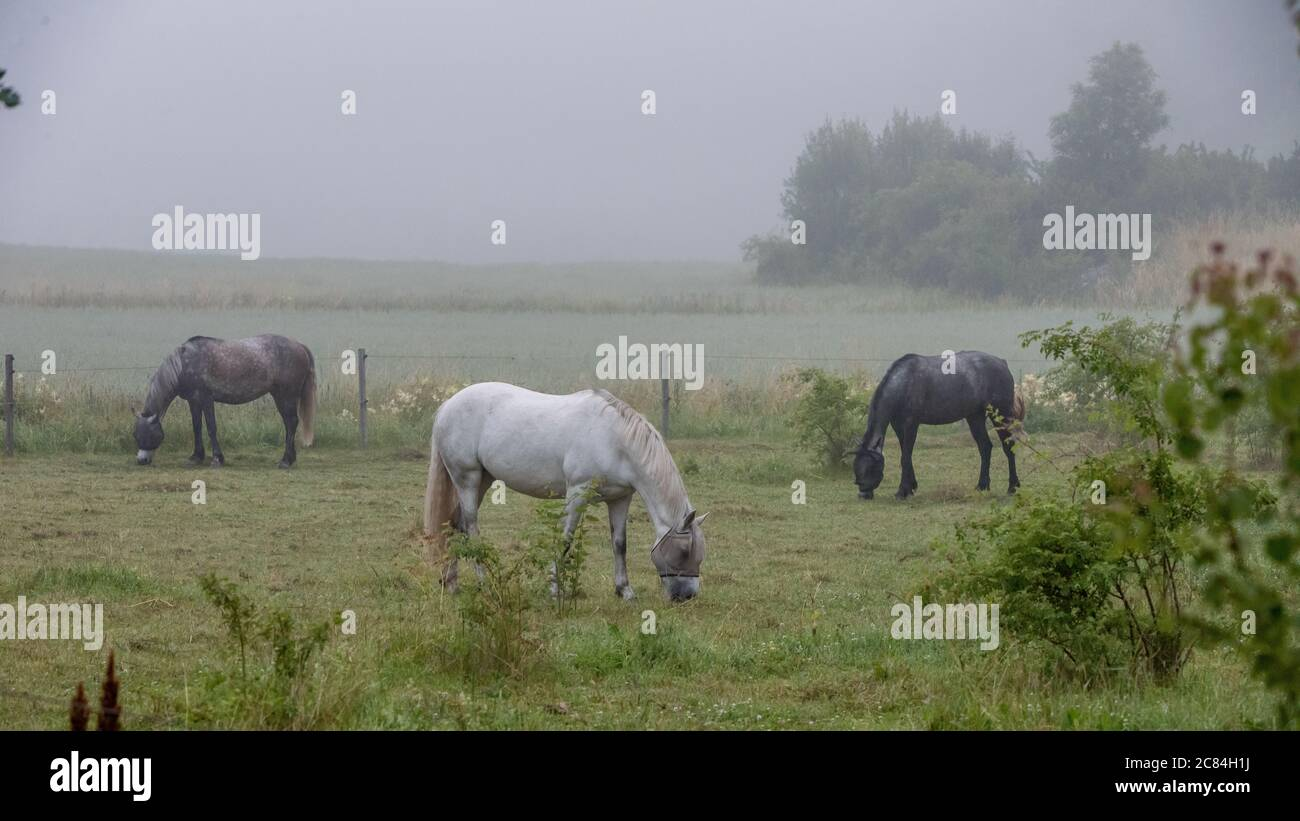 Three horses in a pasture a foggy morning in Uppland, Sweden. Stock Photo