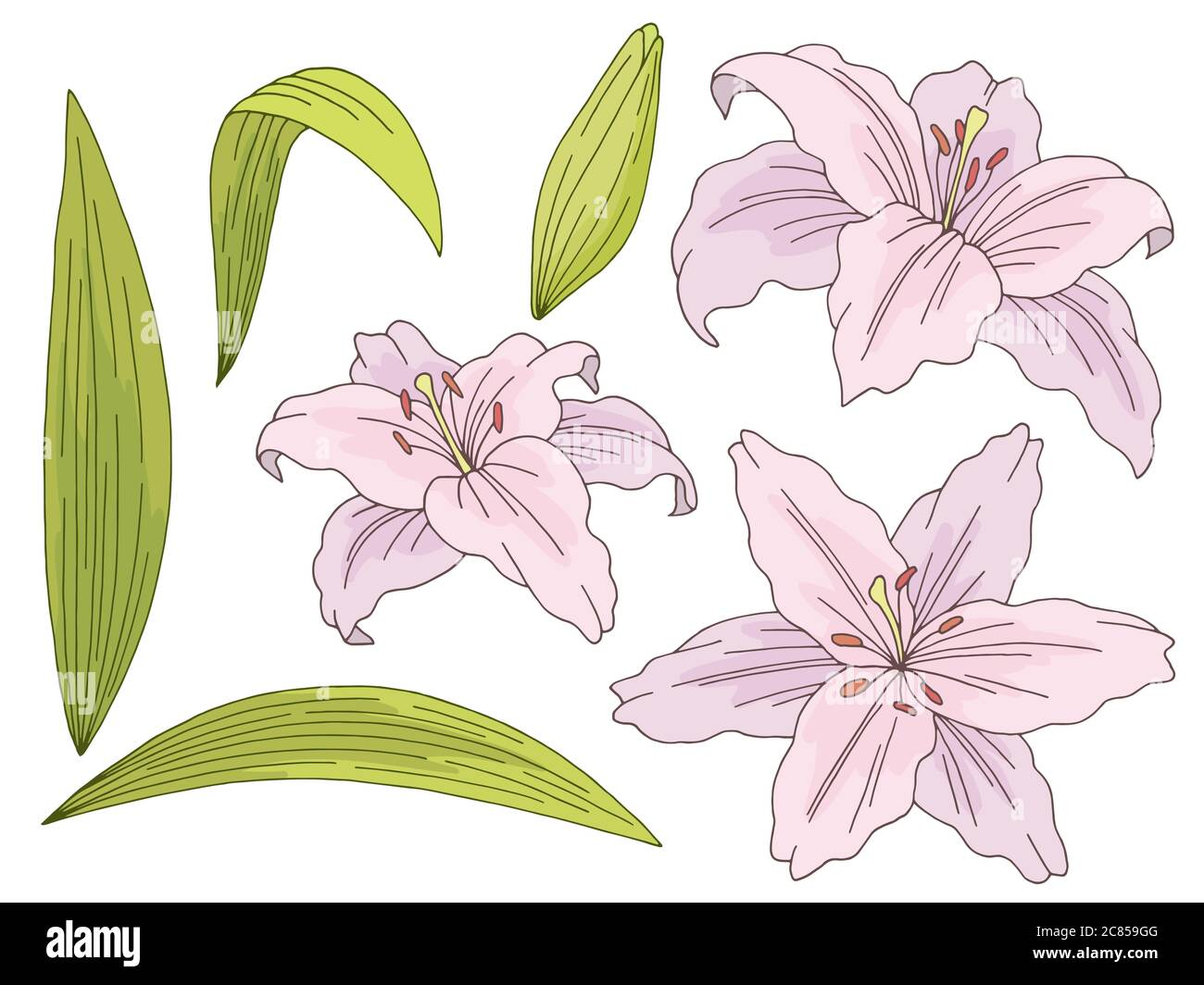 Lily Flower Graphic Color Isolated Sketch Set Illustration Vector Stock Vector Image Art Alamy