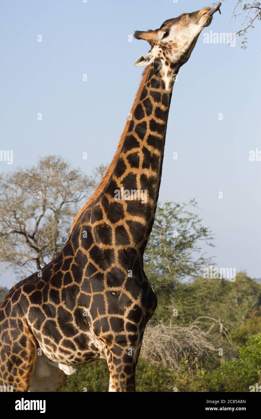 Dark colored male giraffe (Giraffa camelopardalis) sticking tongue out to eat tree leaves in Kruger National Park South Africa Stock Photo