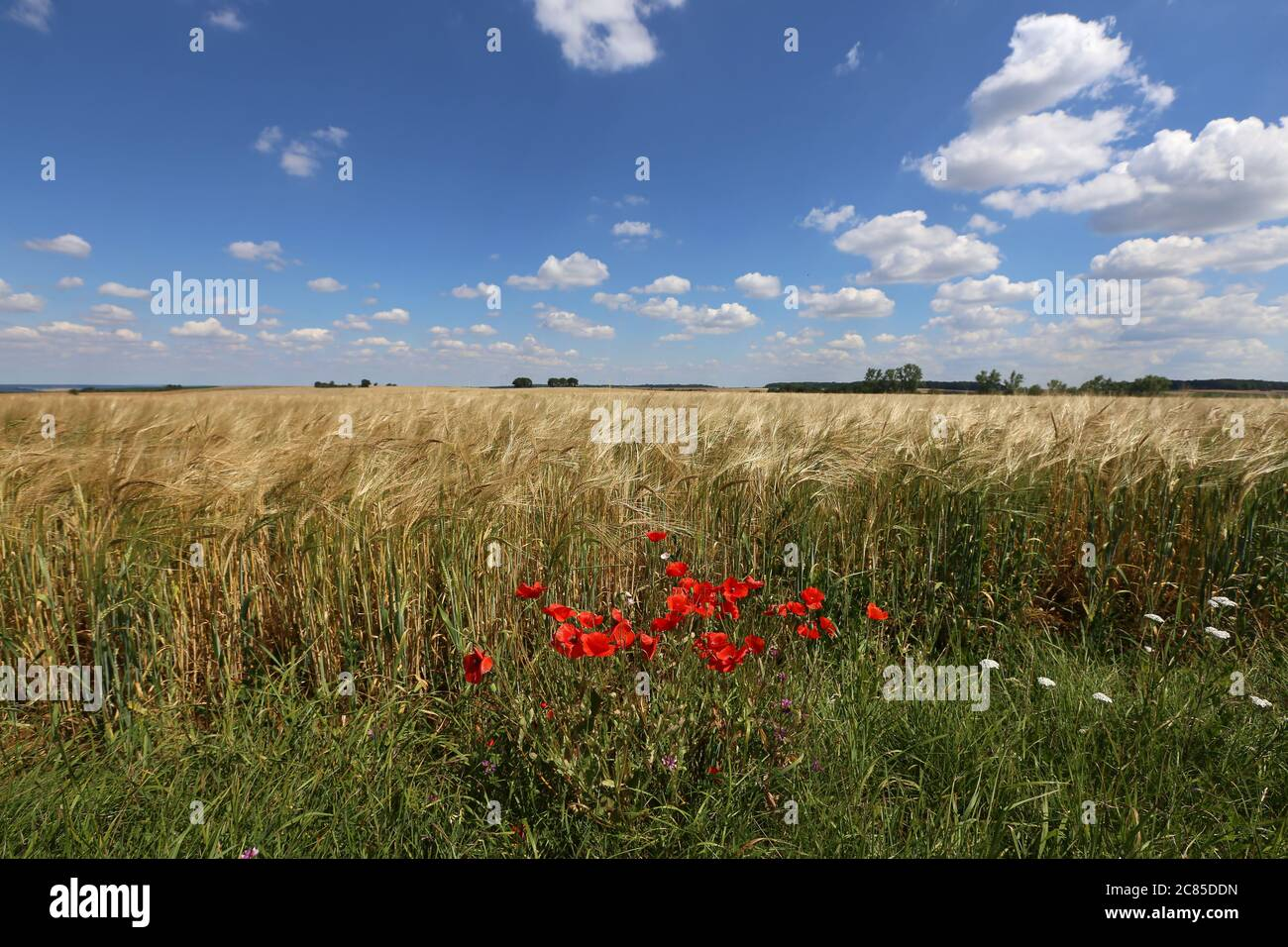 Red poppies grow on the edge of a wheat field - Stock Photo