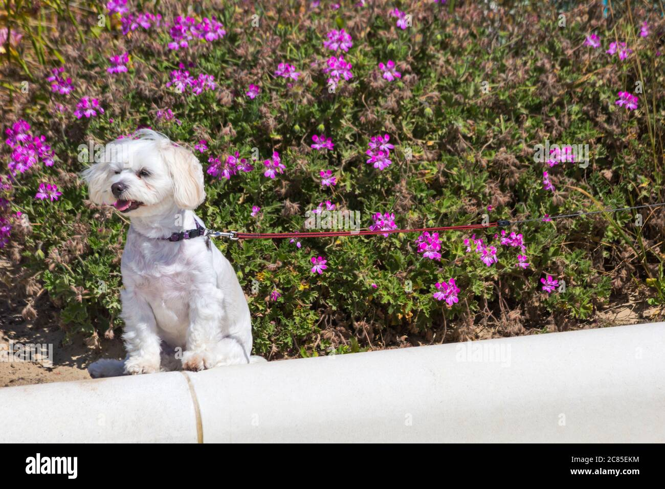 Maltese Terrier High Resolution Stock Photography And Images Alamy