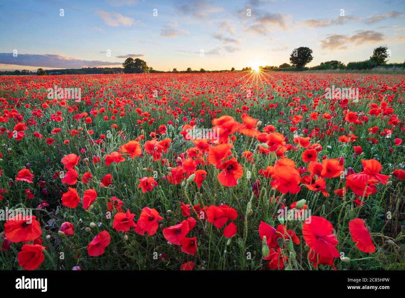 Red poppies growing in field at sunset, near Hungerford, West Berkshire, England, United Kingdom, Europe Stock Photo
