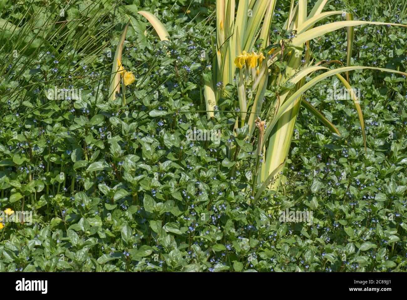 European speedwell or brooklime (Veronica beccubunga) with other marginal aquatic plants in a natural field spring, Berkshire, May Stock Photo