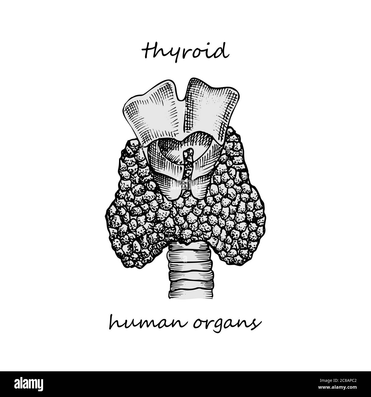 Thyroid Structure And Parts Hand Drawn Icon Isolated On White