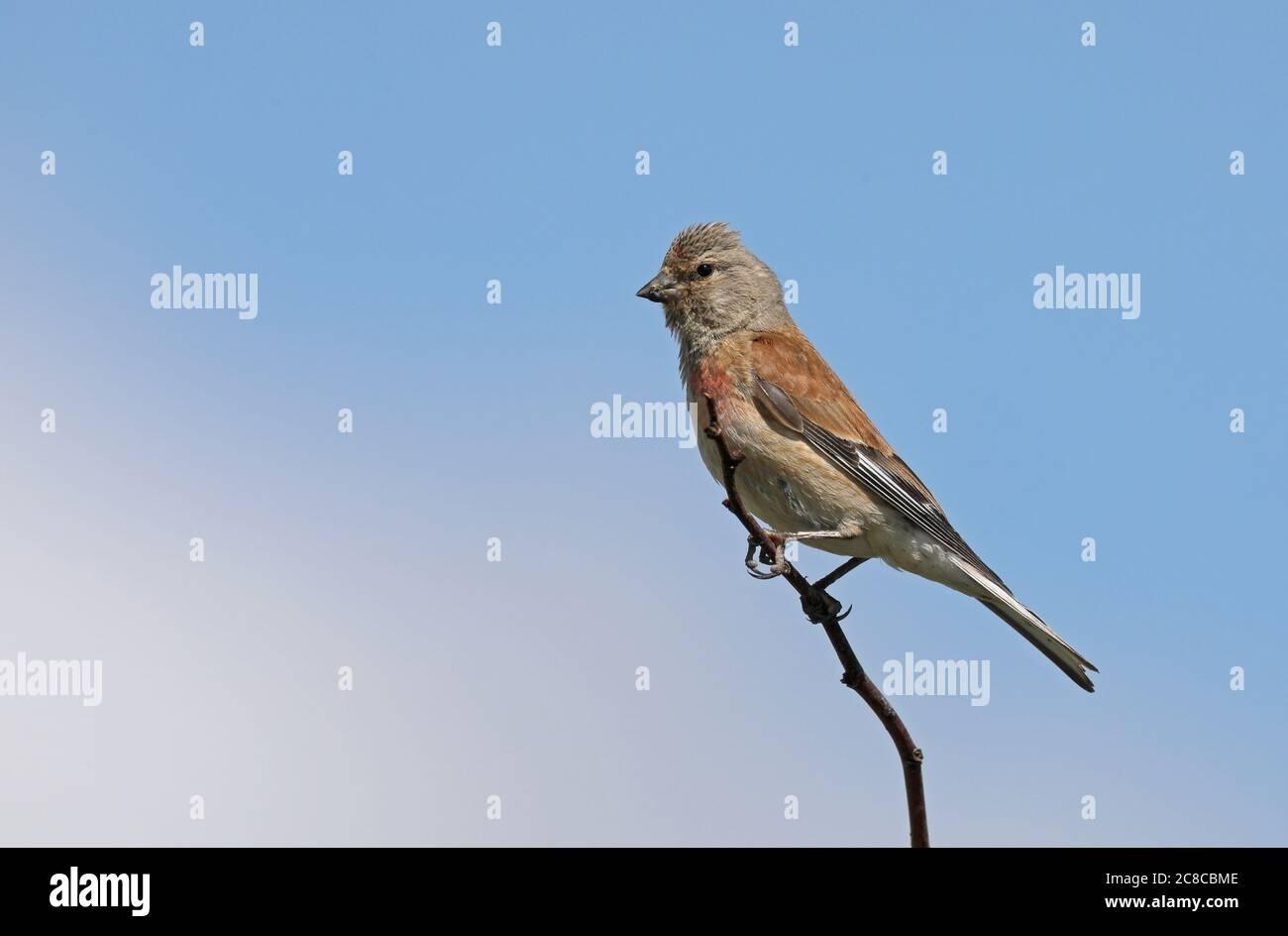 Common linnet, Linaria cannabina Stock Photo
