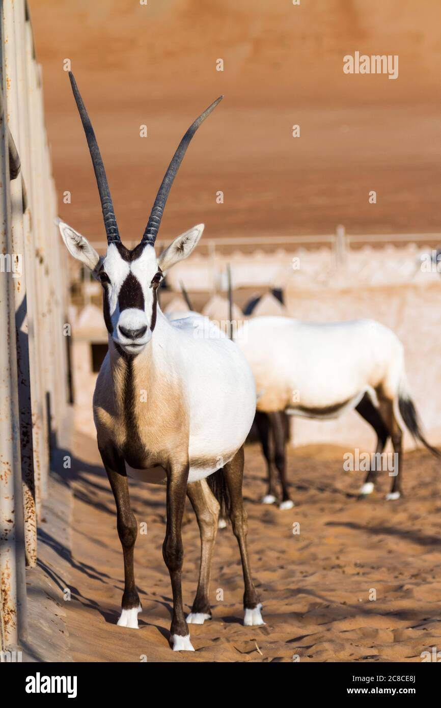 Large antelopes with spectacular horns, Gemsbok, Oryx gazella, being bred in captivity in Oman desert. Stock Photo
