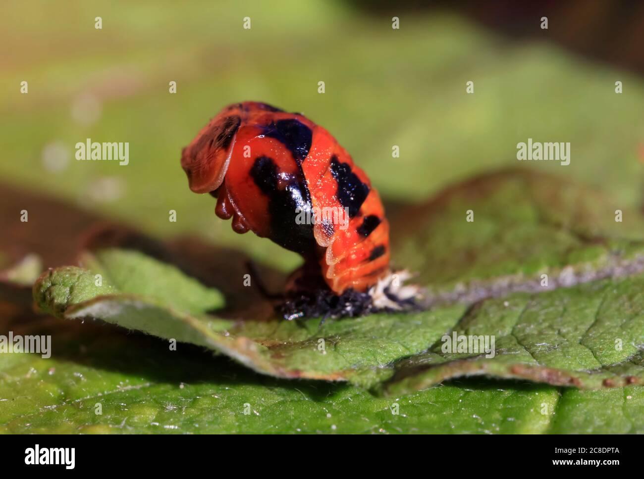Asian ladybeetle (Harmonia axyridis) hatching on leaf Stock Photo
