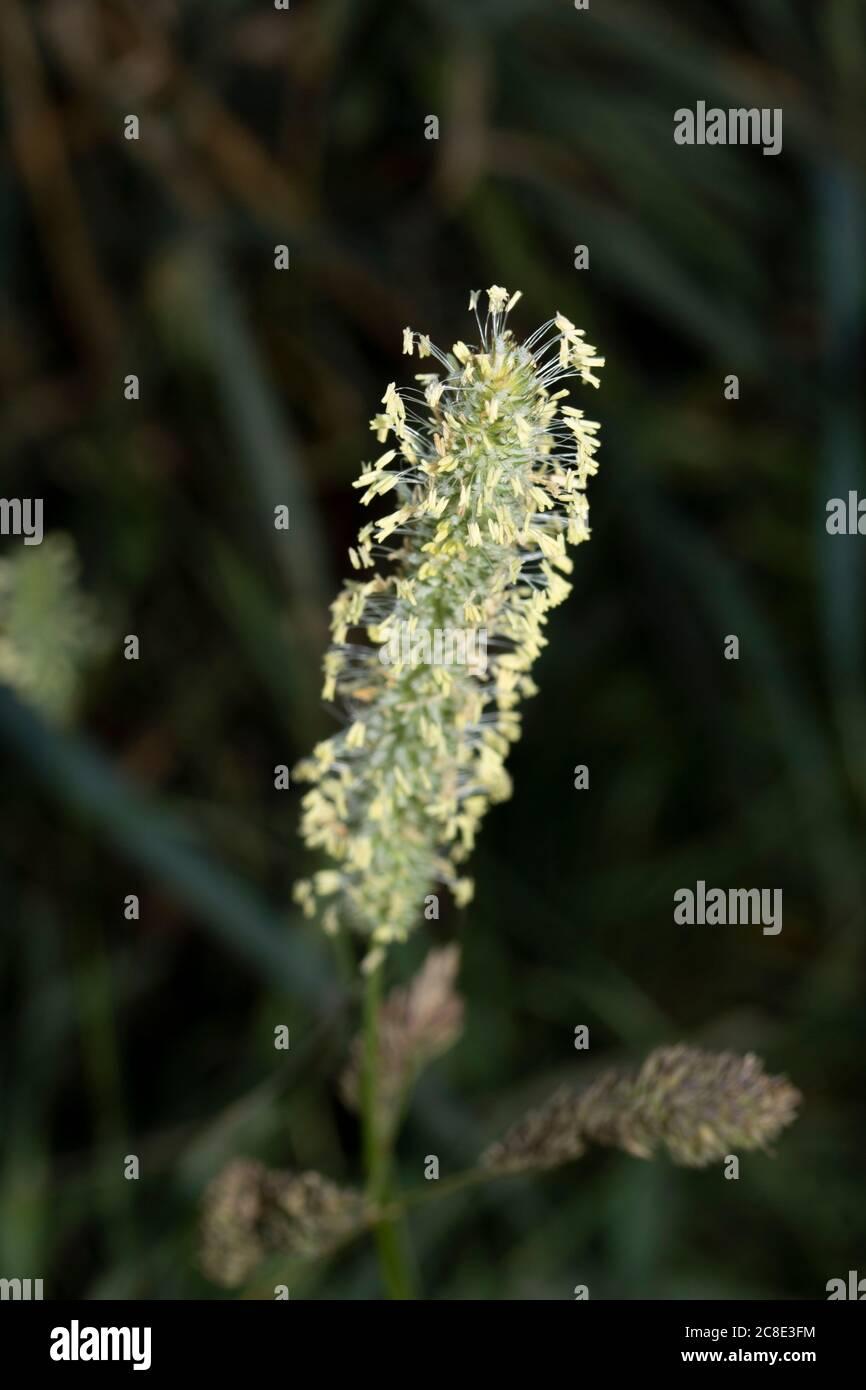 Grass pollen close up (macro) natural representation Stock Photo