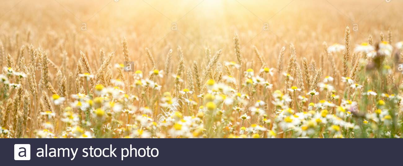 Golden wheat field, defocused chamomile in front of wheat, beautiful landscape in sunset Stock Photo