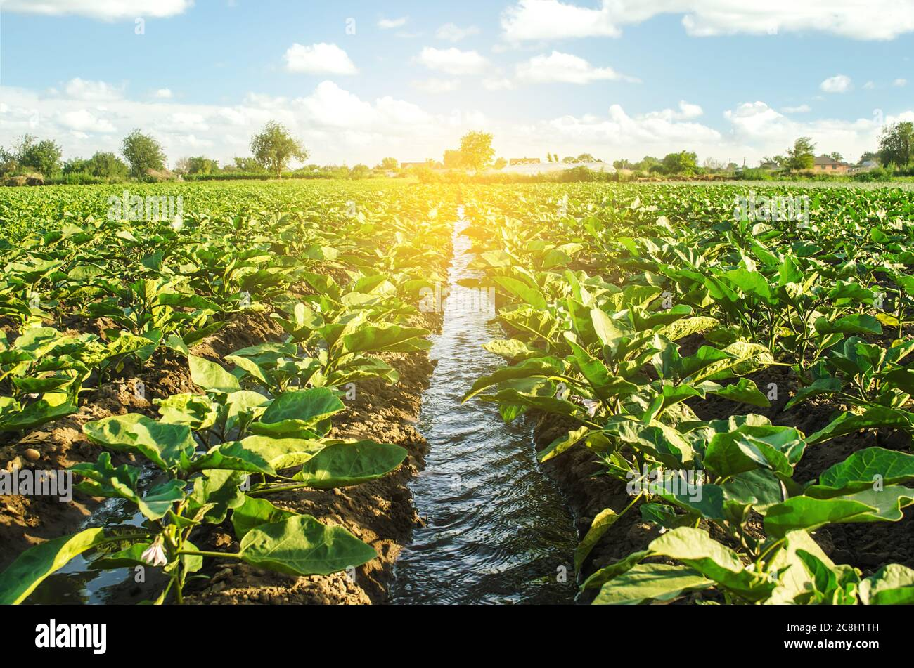 An irrigation water canal passes through the eggplant plantation. Caring for plants, growing food. Agriculture and agribusiness. Conservation of water Stock Photo