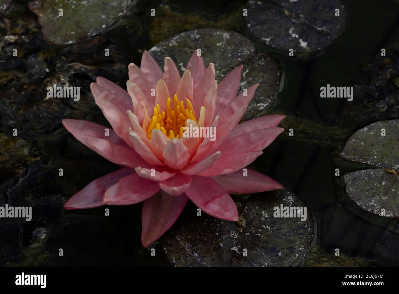 A pink water lily with yellow stamens, on a lily pad. Stock Photo