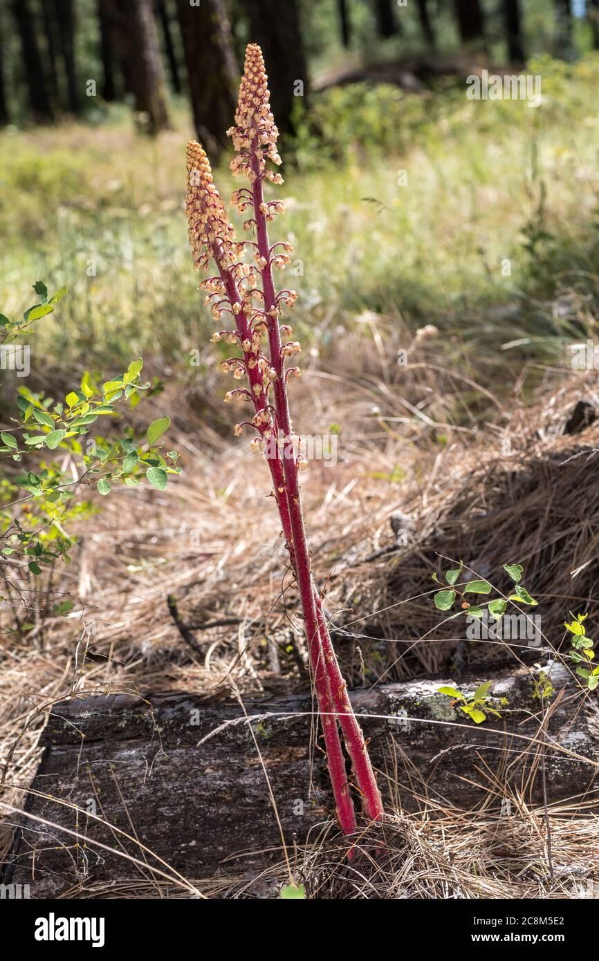 Woodland Pinedrops, Albany Beechdrops, or Giant Bird's Nest (Pterospora andromedea) Stock Photo