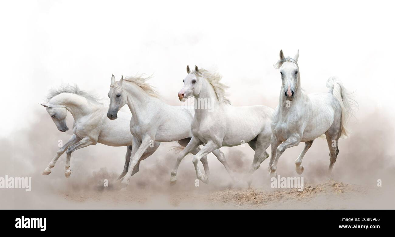 Beautiful White Arabian Horses Running Over A White Background Stock Photo Alamy