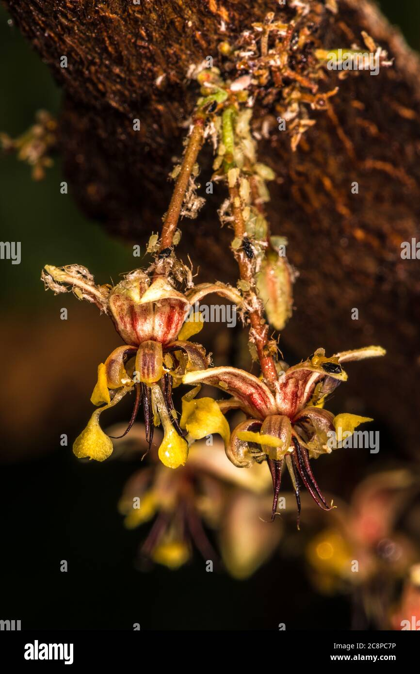 Cacoa Flower (Theobroma cacao) and Aphids Stock Photo