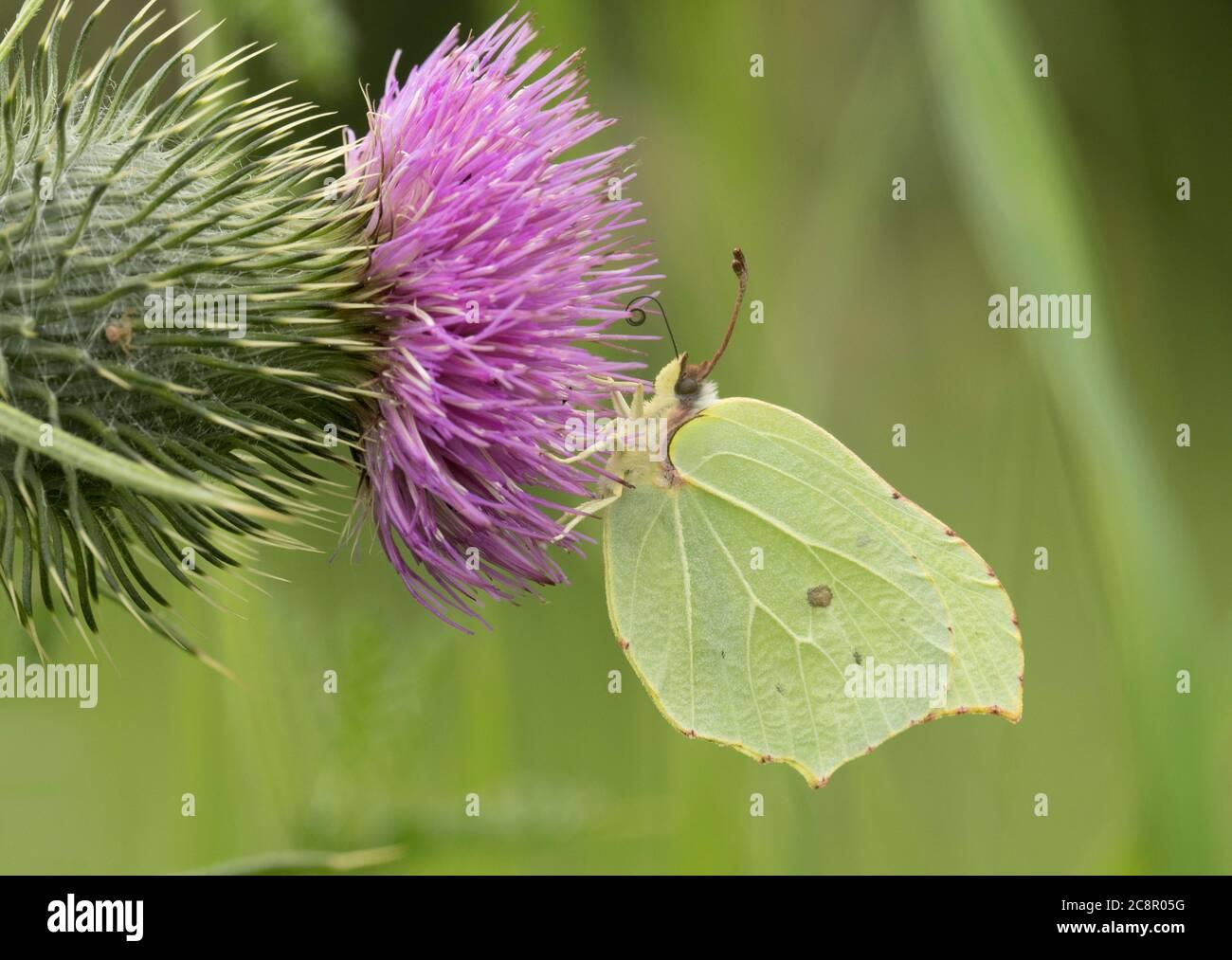 Brimstone Butterfly, Gonepteryx rhamni single adult female feeding on Spear Thistle, Cirsium vulgare, Worcestershire, UK. Stock Photo