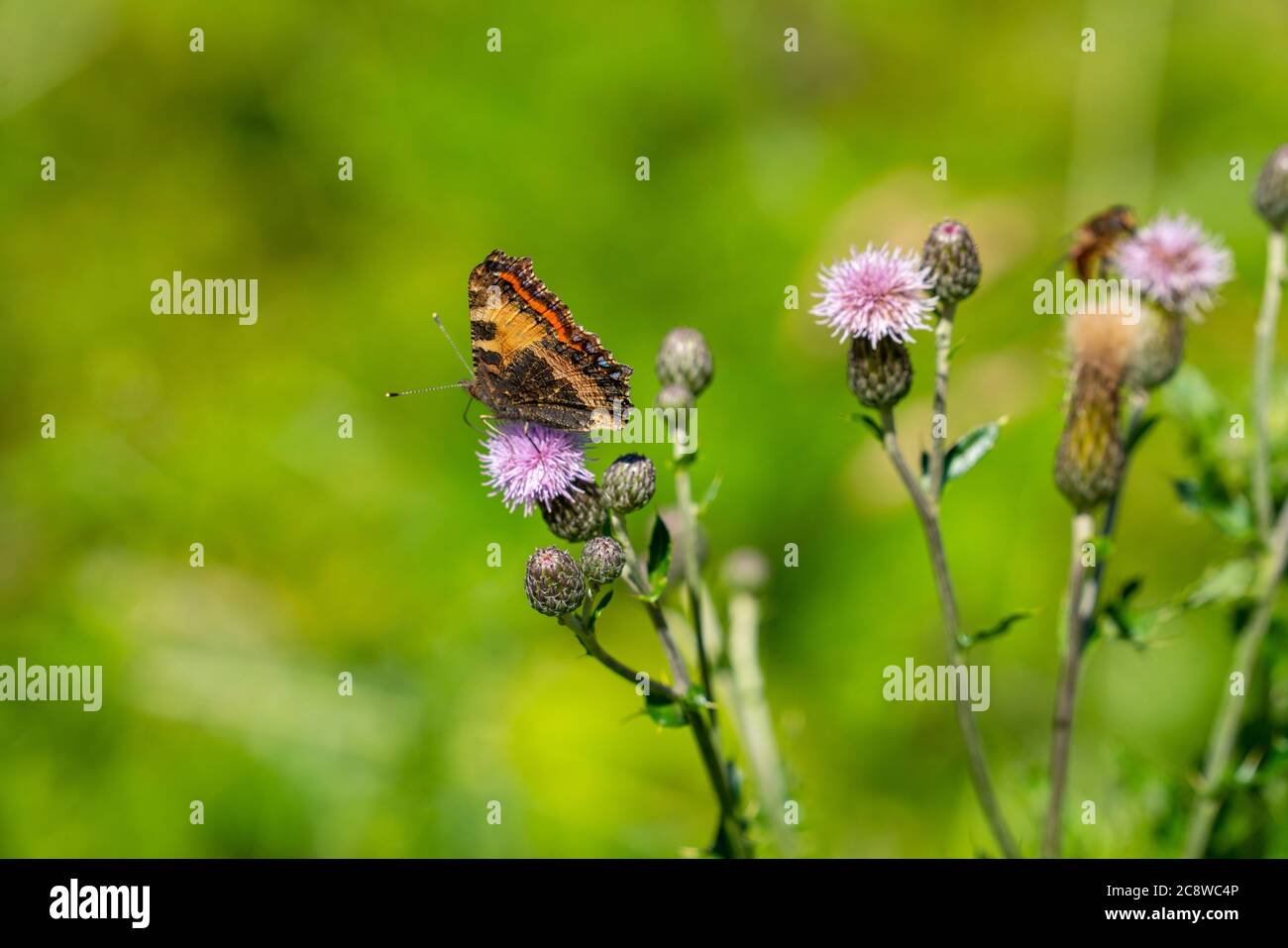 Butterfly, peacock butterfly, Aglais io, on a plant, common thistle, Stock Photo