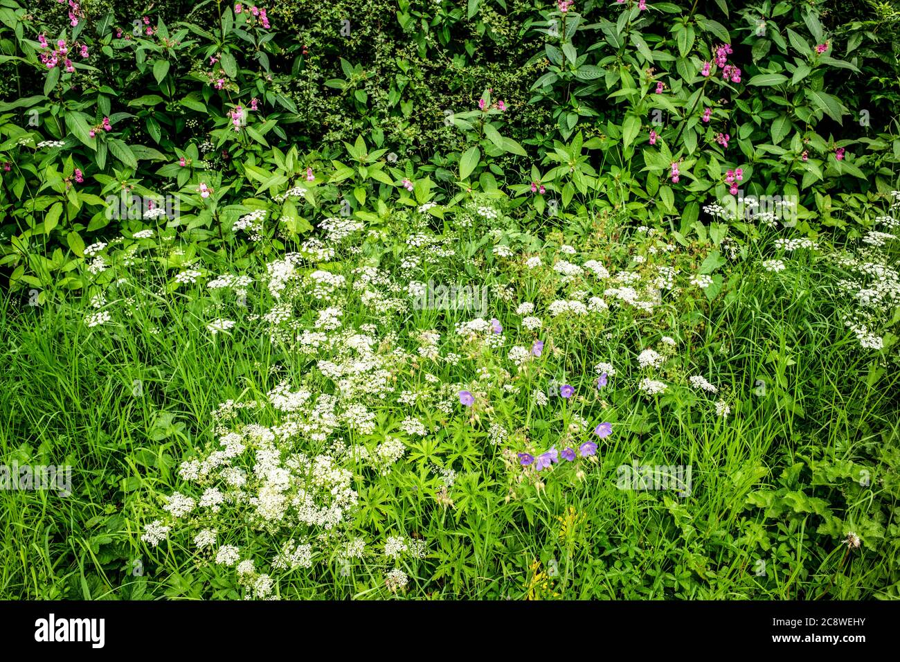 Roadside Cranes-bill, Hedge-parsley and Himalayan balsam, Vale of York, Yorkshire, UK Stock Photo