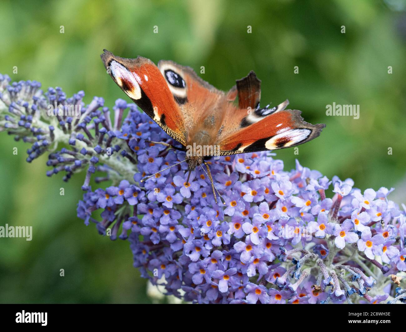 A close up of a peacock butterfly - Inachis io feeding on a buddleia flower Stock Photo