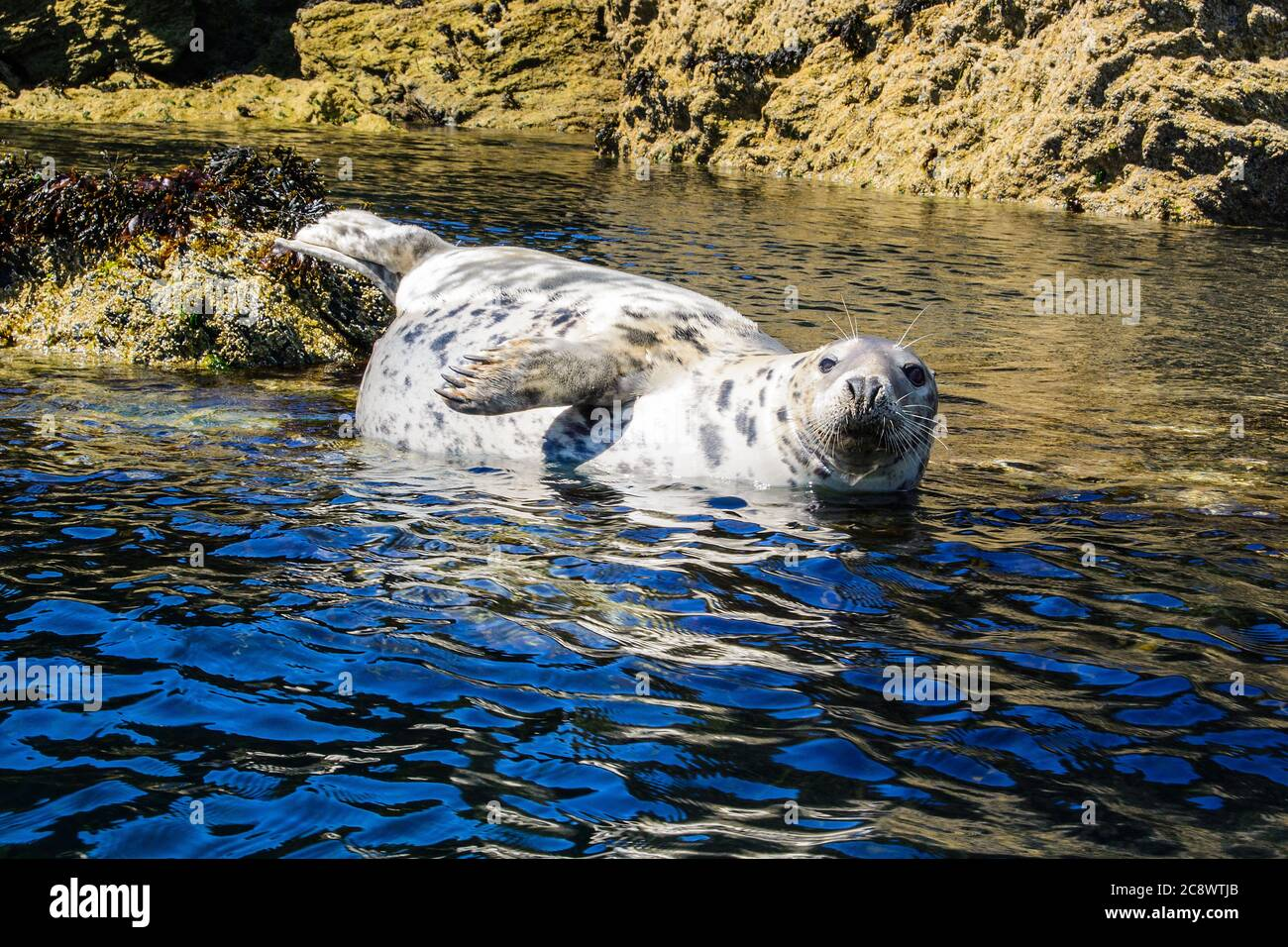 An Atlantic Grey Seal  ( Halichoerus grypus )  basking on a rock off the Anglesey coast at Rhoscolyn, North Wales Stock Photo