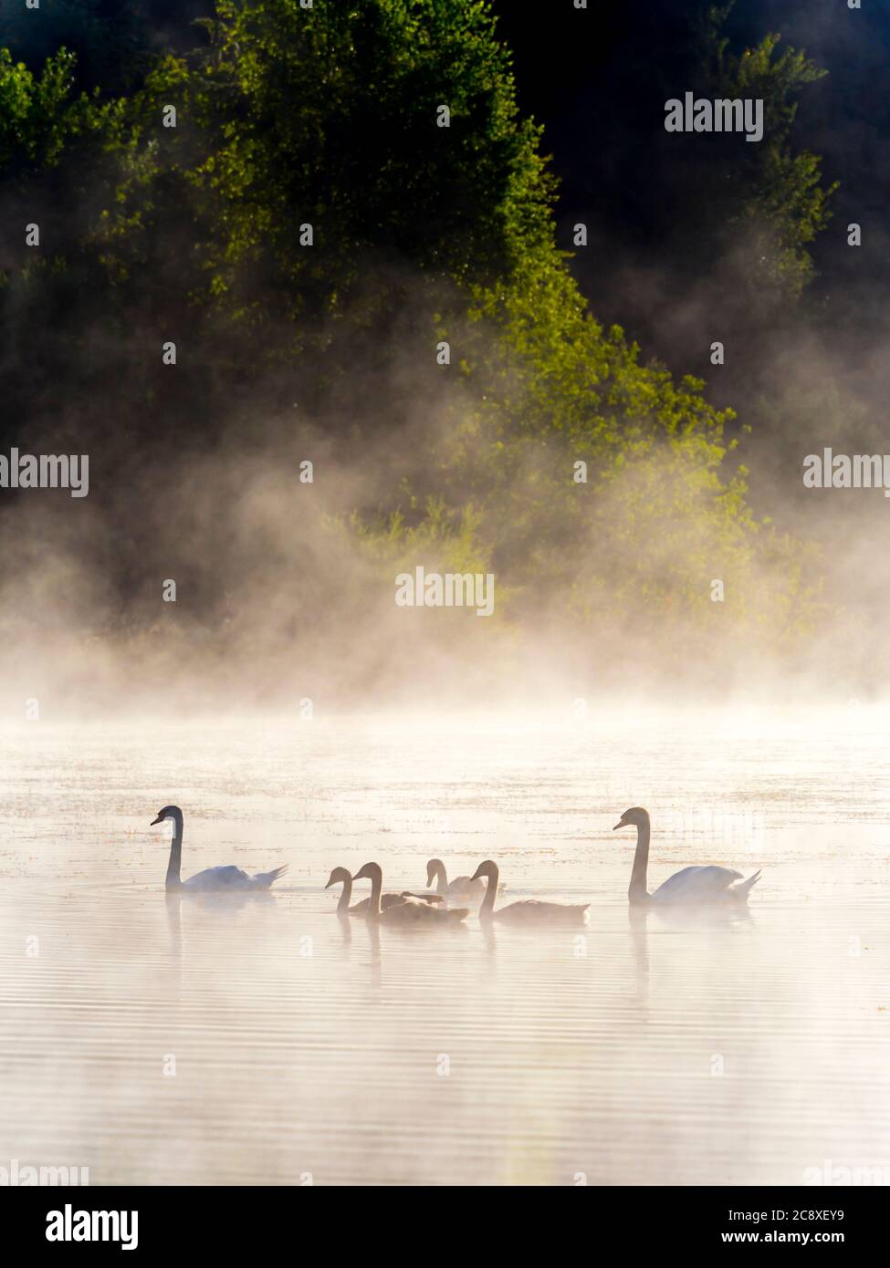 Swans family in sunrise time on lake Mrzla vodica in Croatia Europe gorgeous & stunning & marvelous Stock Photo