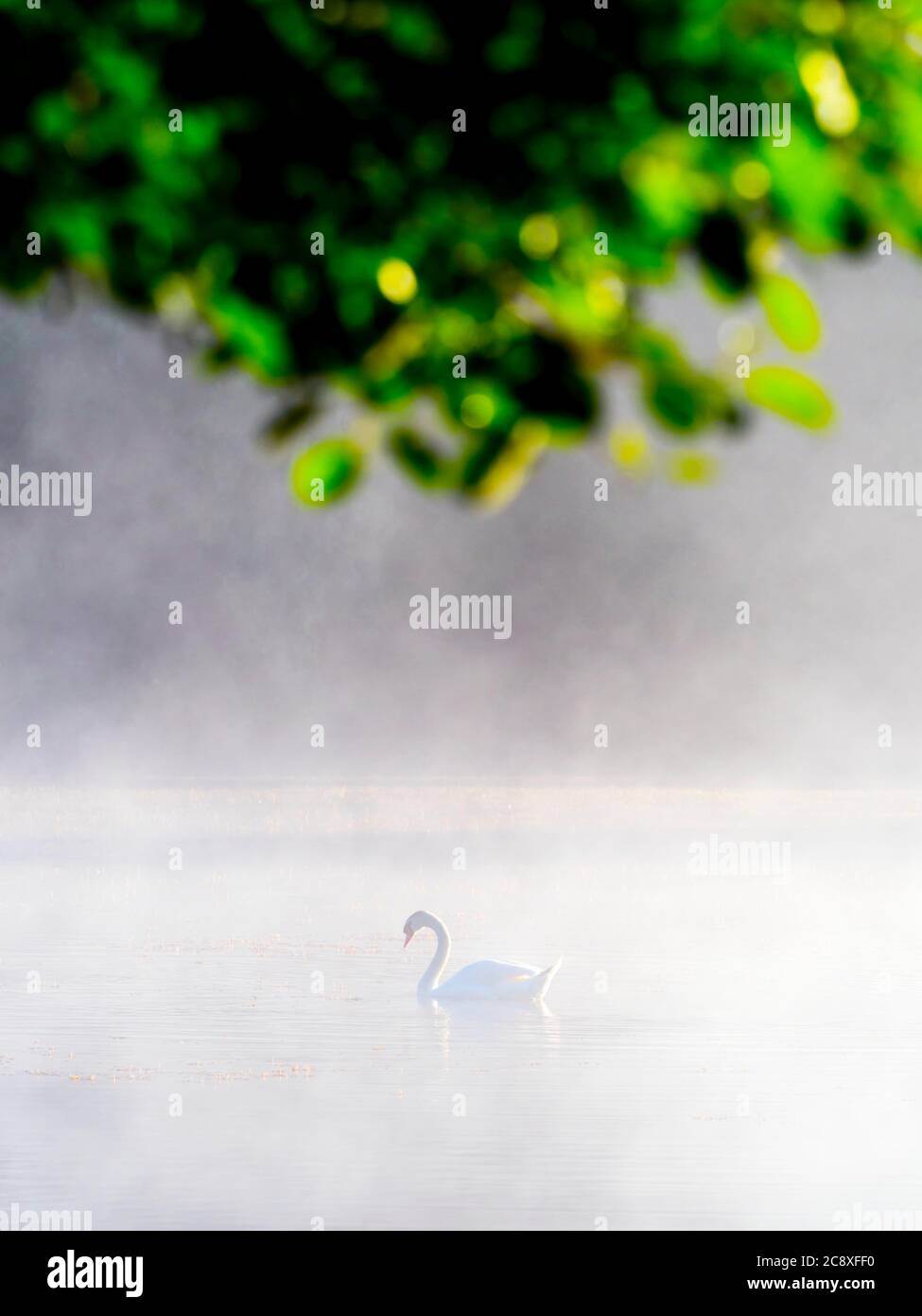 Lonely swan in sunrise time on lake under tree brances branch vegetation leaves Mrzla vodica in Croatia Europe Stock Photo