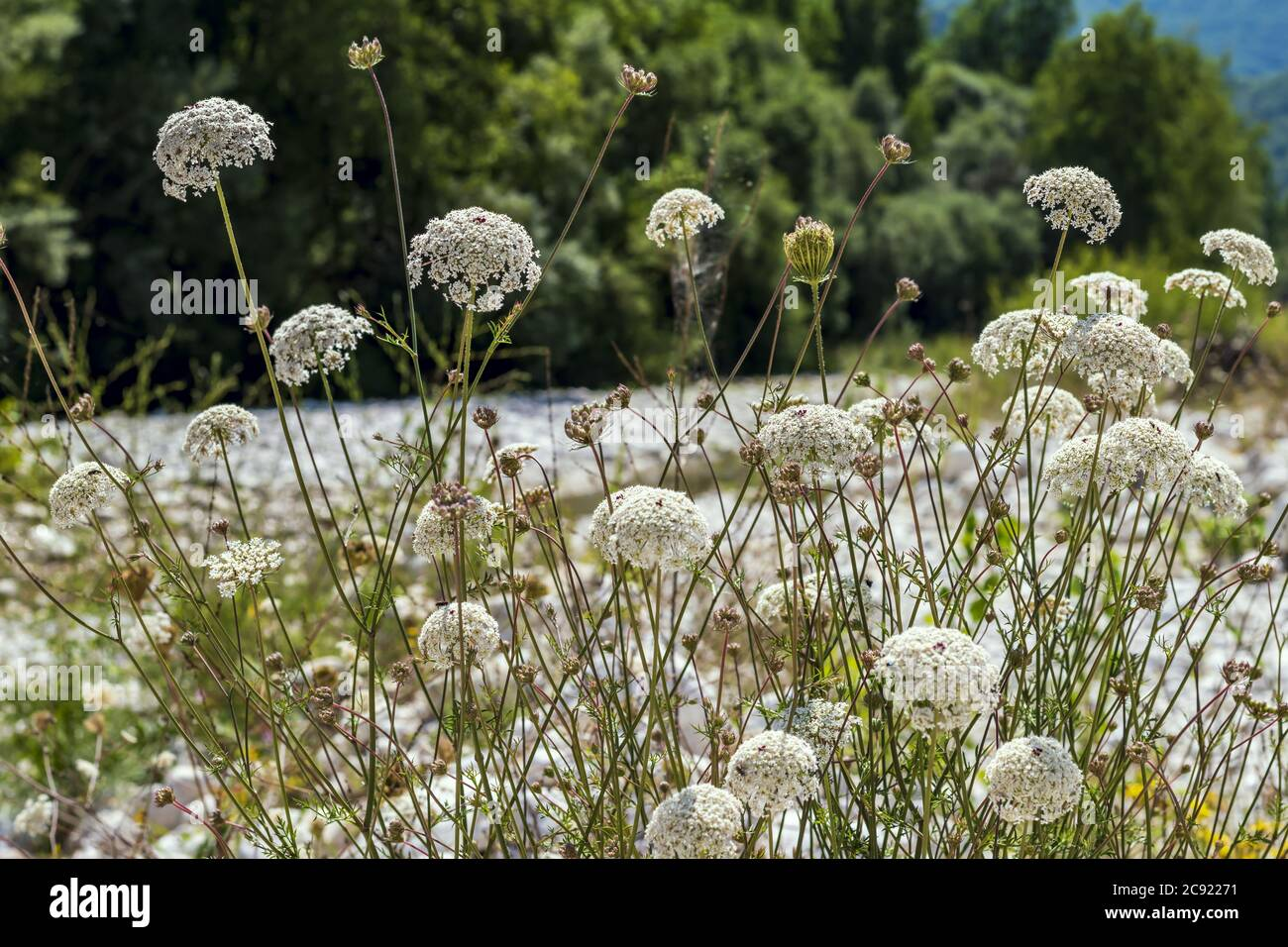 Ammi majus flowering plant on the riverbank,commonly known as bishop's weed or laceflower a member of the carrot family Apiaceae Stock Photo