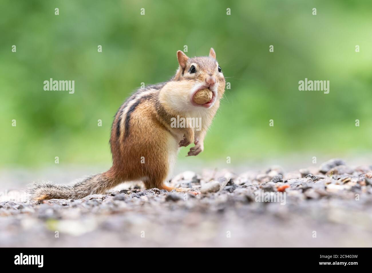 An Eastern Chipmunk pauses after stuffing an entire peanut in its cheek pouches at Lynde Shores Conservation Area in Whitby, Ontario. Stock Photo