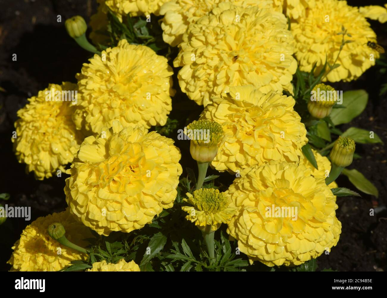 Yellow French Marigolds (tagetes patula) bloom in the summer sun in Victoria, British Columbia, Canada on Vancouver Island. Stock Photo