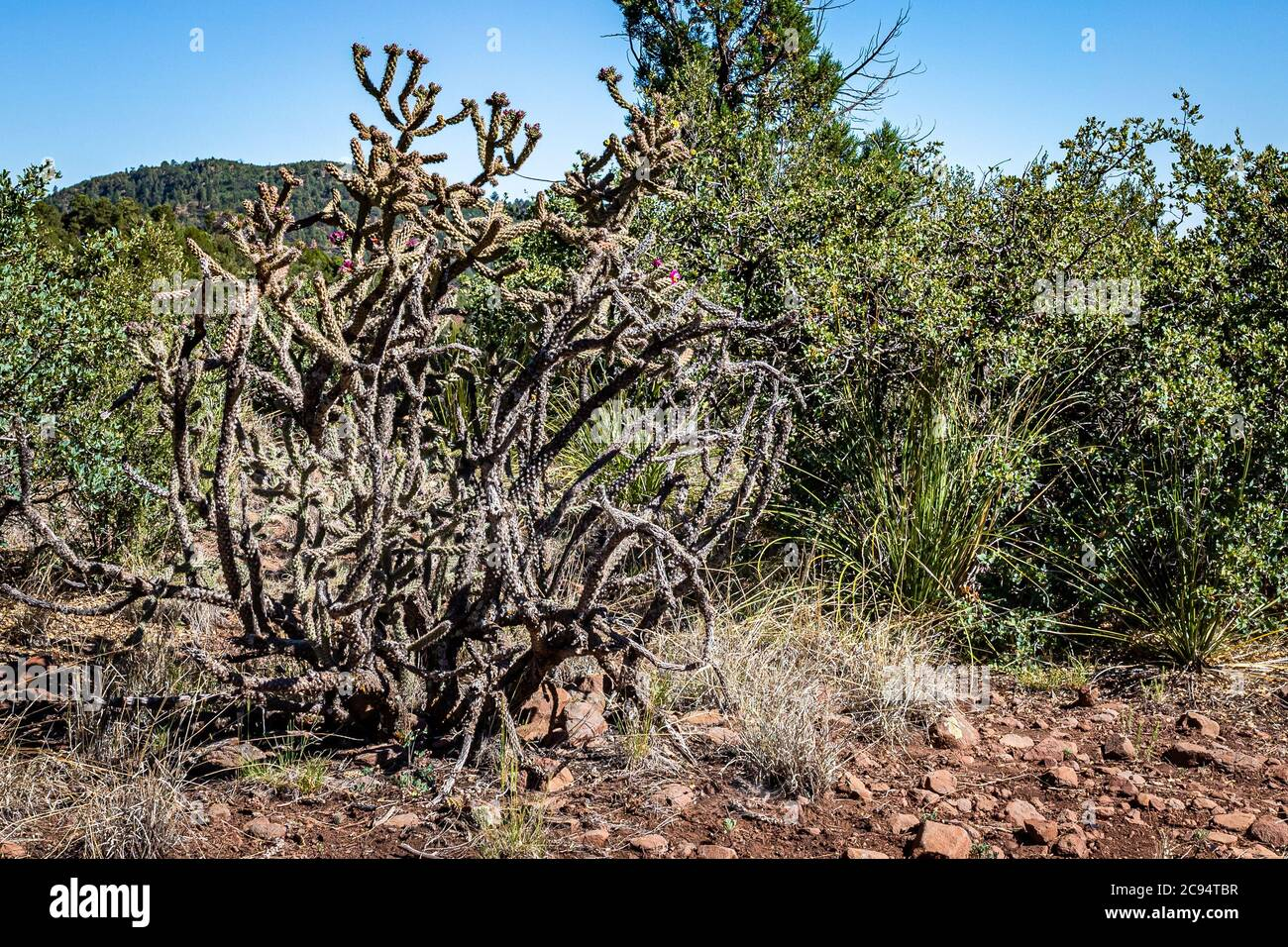 Cylindropuntia acanthocarpa, commonly referred to as staghorn, or buckhorn, cholla, is a cholla native to the Mojave, Sonoran, and Colorado Deserts of Stock Photo
