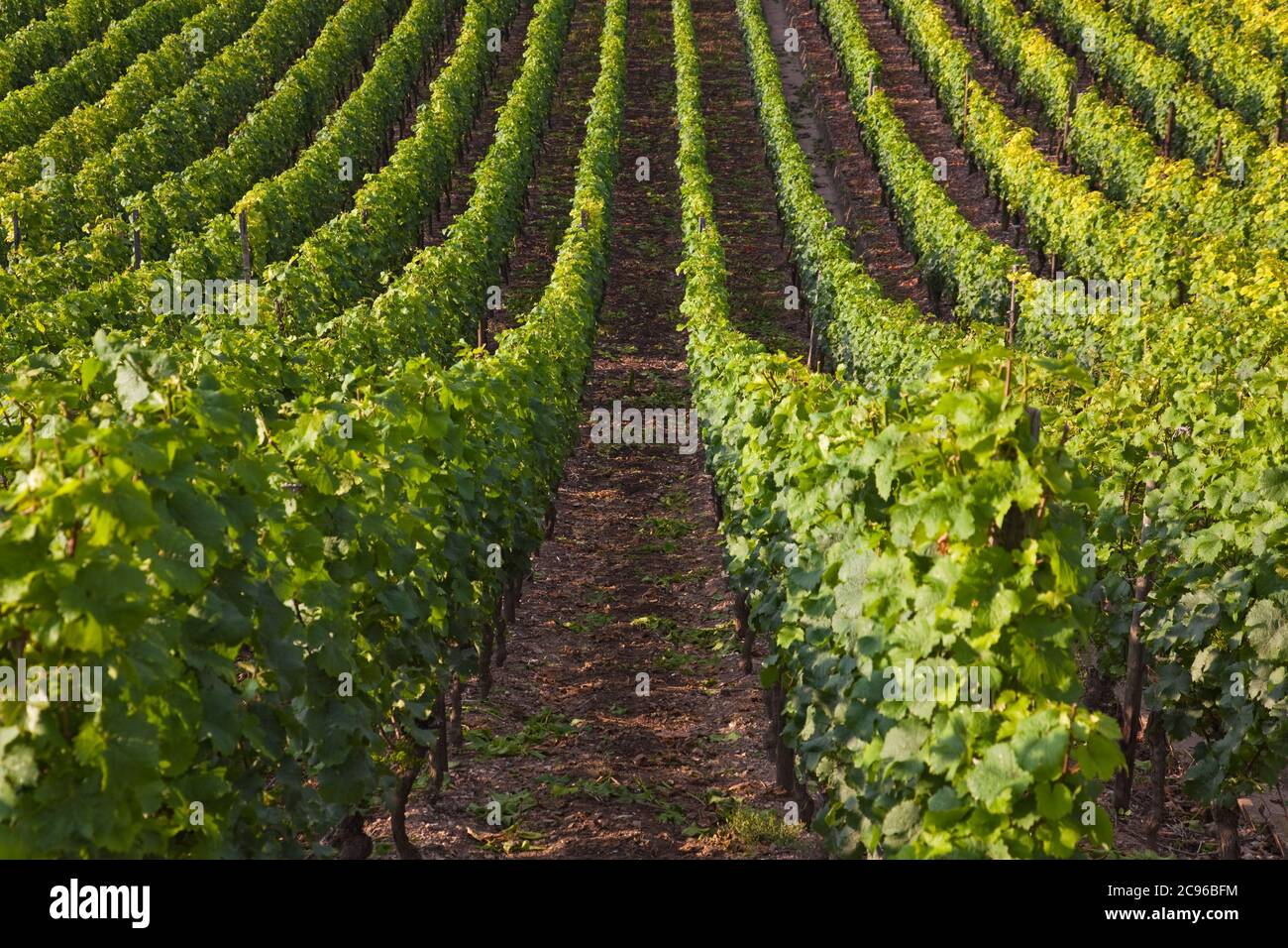 geography / travel, Germany, Bavaria, Escherndorf, grape vine to the Volkacher Mainschleife, Escherndo, Additional-Rights-Clearance-Info-Not-Available Stock Photo