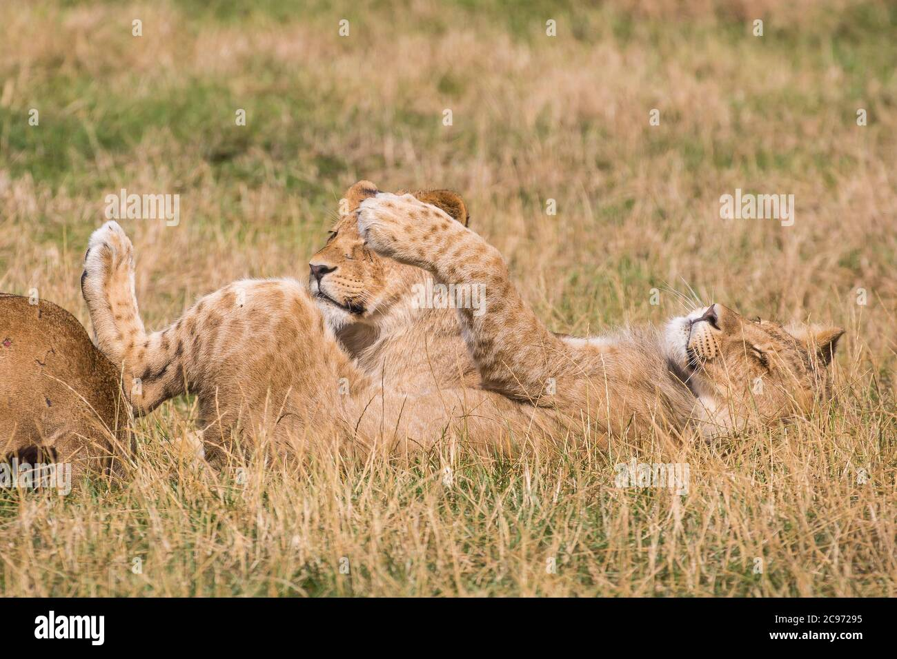 Close up of two adorable African lion cubs (Panthera leo) lying in long grass relaxing, one on its back stretching out enjoying summer sunshine heat. Stock Photo