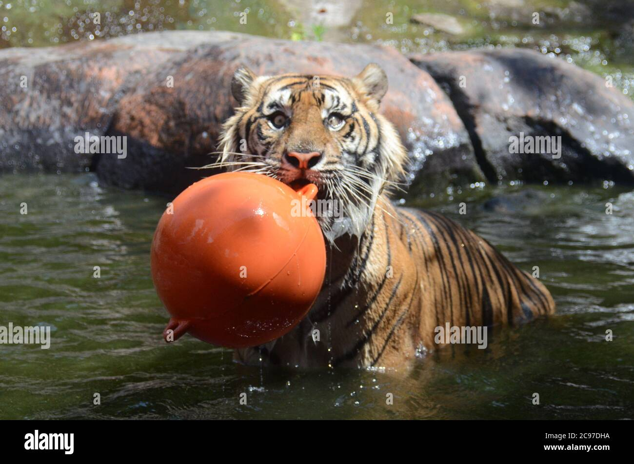 Malang Indonesia 29th July 2020 A Sumatran Tiger Is Seen At The Batu Secret Zoo In Malang East Java Indonesia On July 29 2020 The Annual International Tiger Day Also Known As
