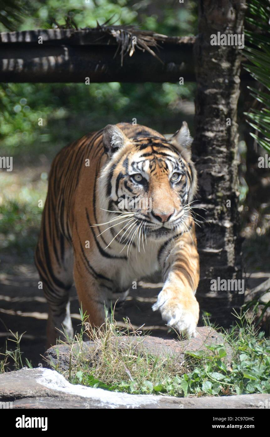 Malang Indonesia 29th July 2020 A Sumatran Tiger Is Seen At The Batu Secret Zoo In