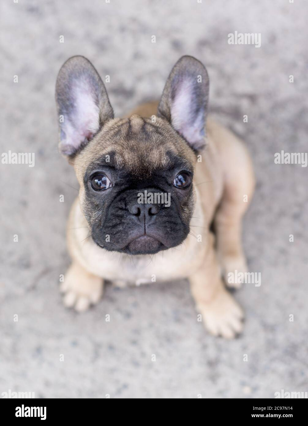Adorable French Bulldog Puppy Beige Color Portrait Of Cute Little Puppy Stock Photo Alamy