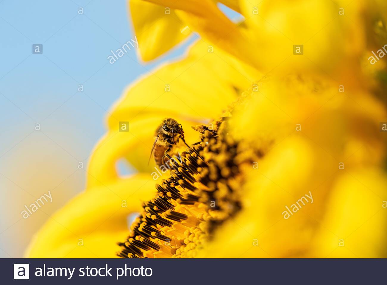 Honey bee pollinating an organic sunflower Stock Photo